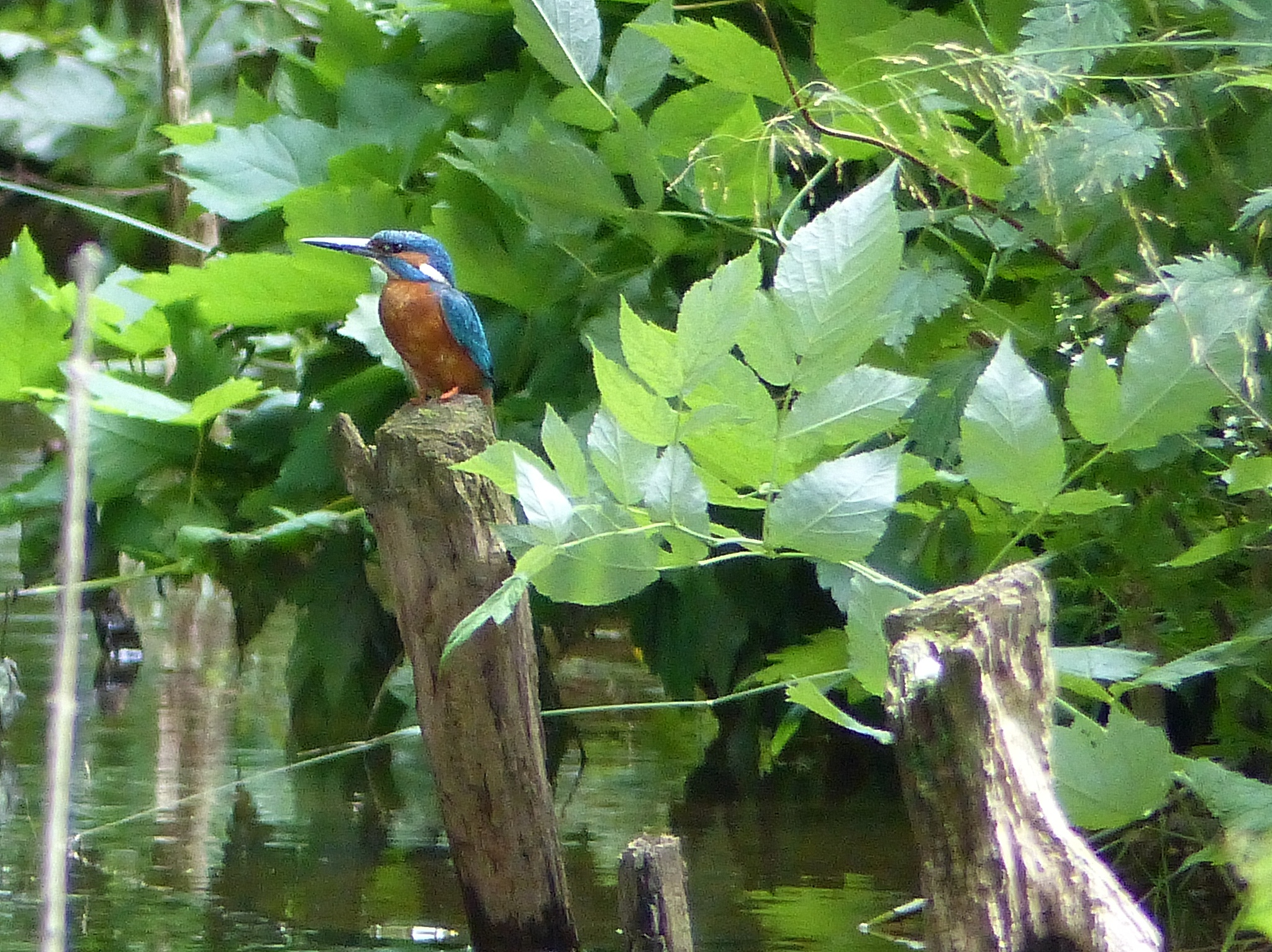 Kingfisher by Lars M.