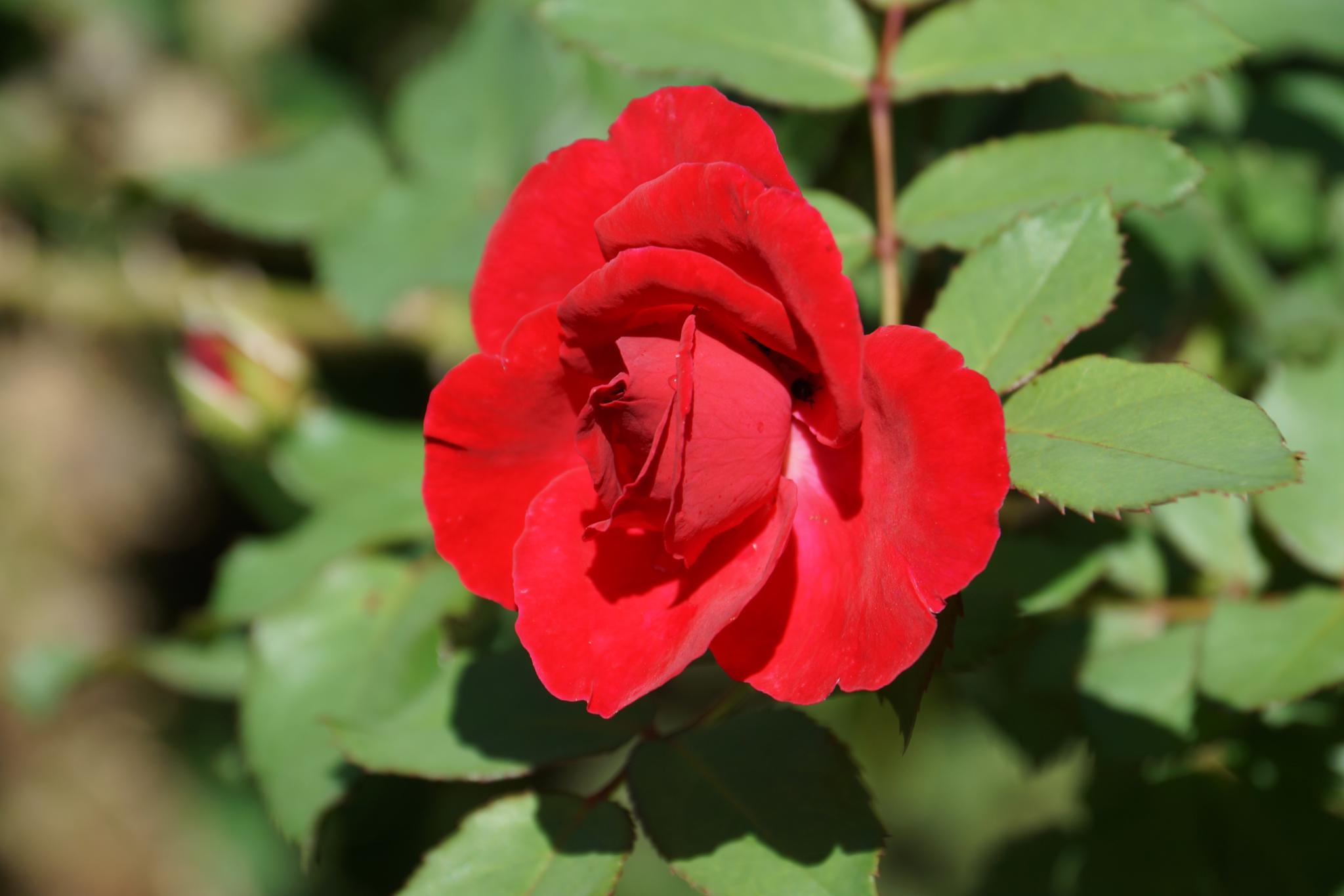 A Rose by vinicius.monsoresdeabreu