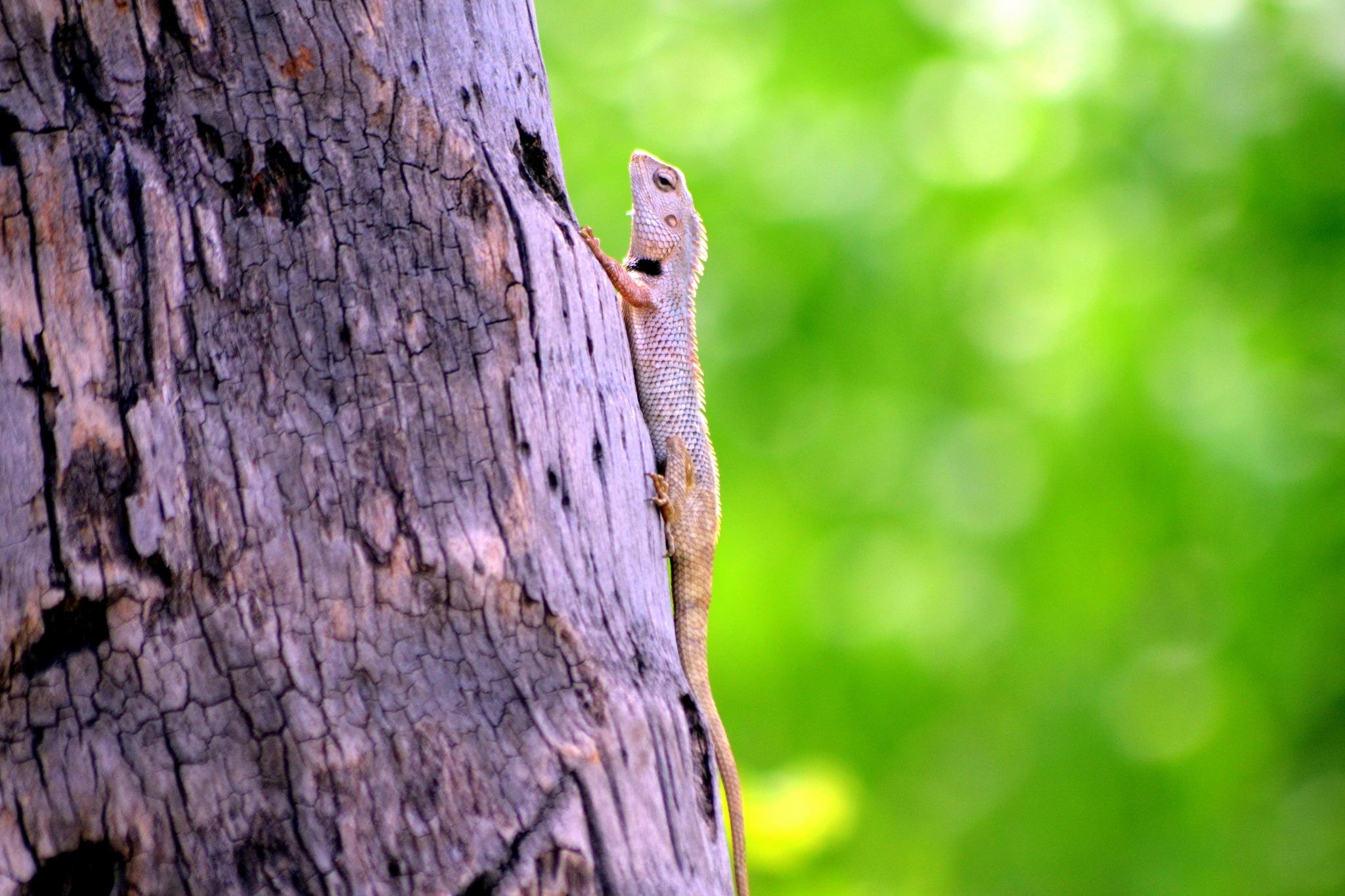 Chameleon Lizard  by PRasad Ahirrao