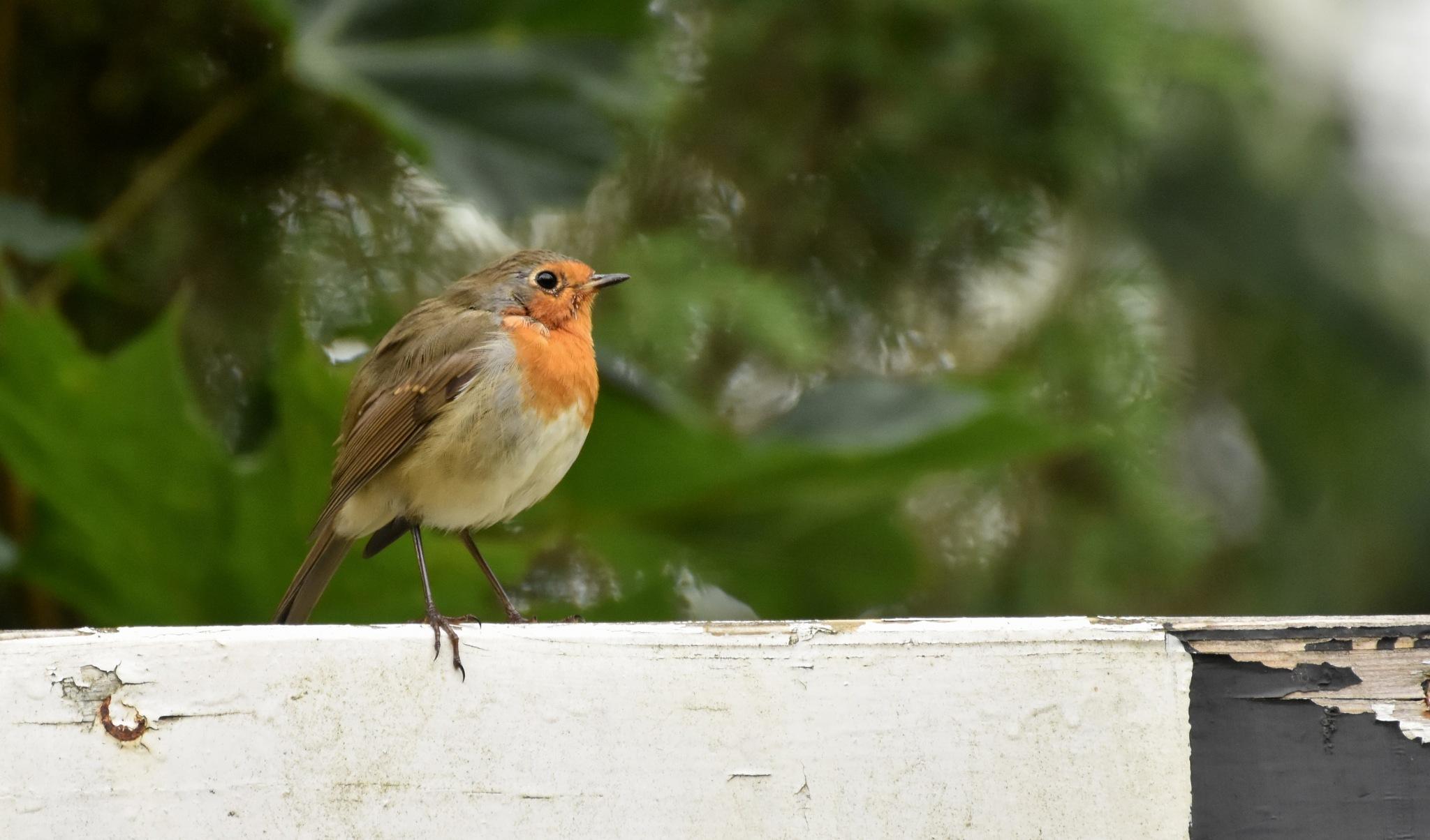 Robin by monica.westerholm.5