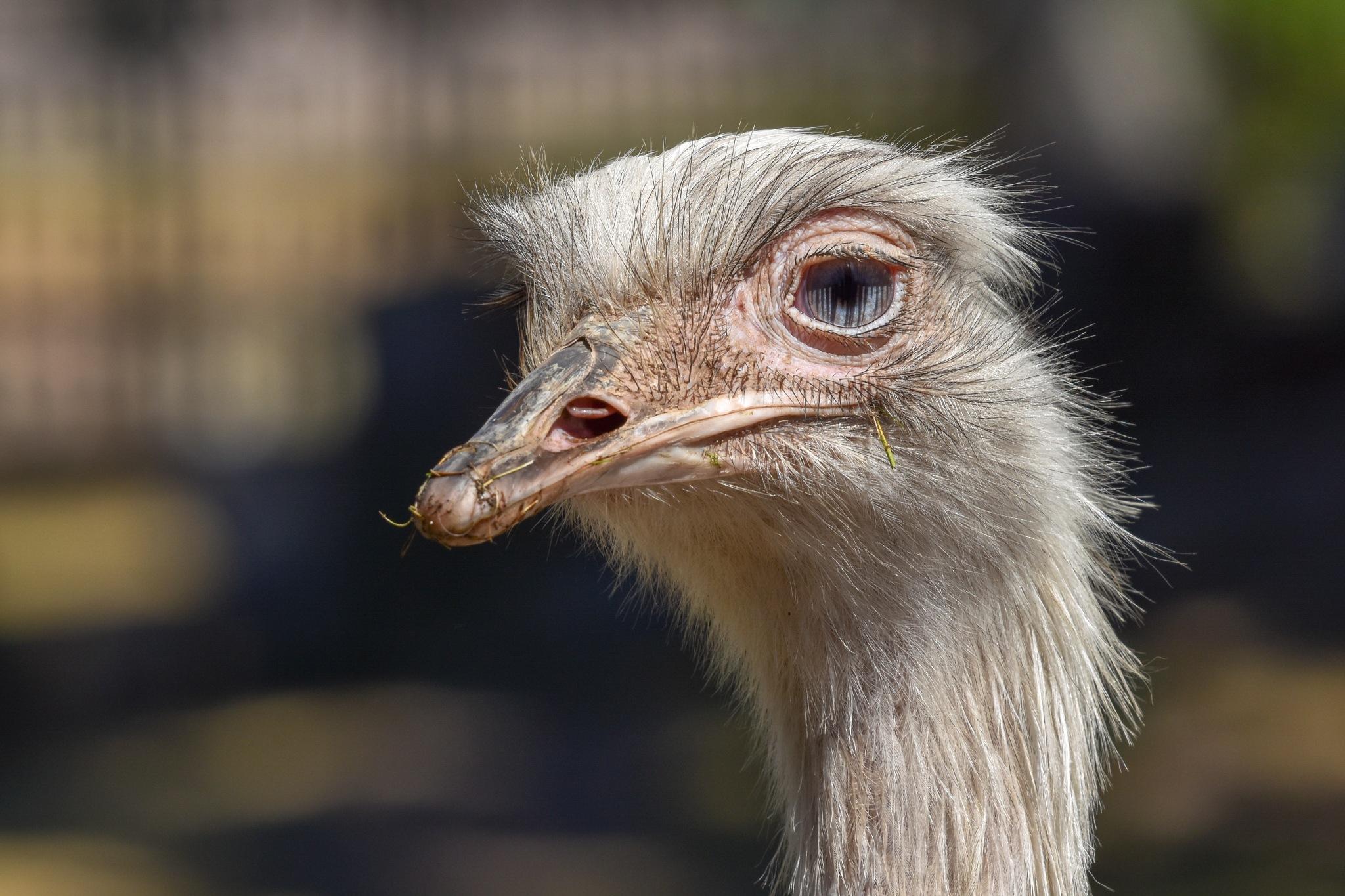 Ostrich by monica.westerholm.5
