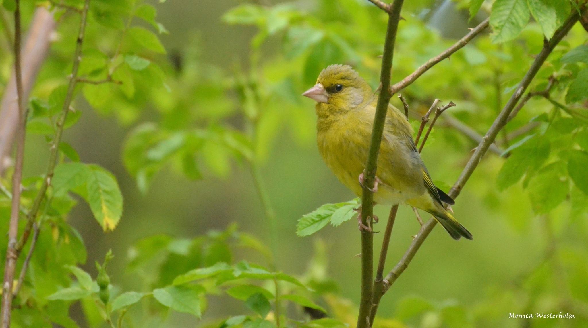 Greenfinch by monica.westerholm.5