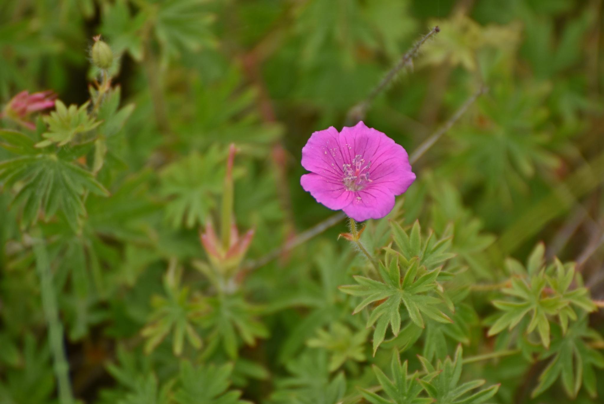 Summer flower by monica.westerholm.5