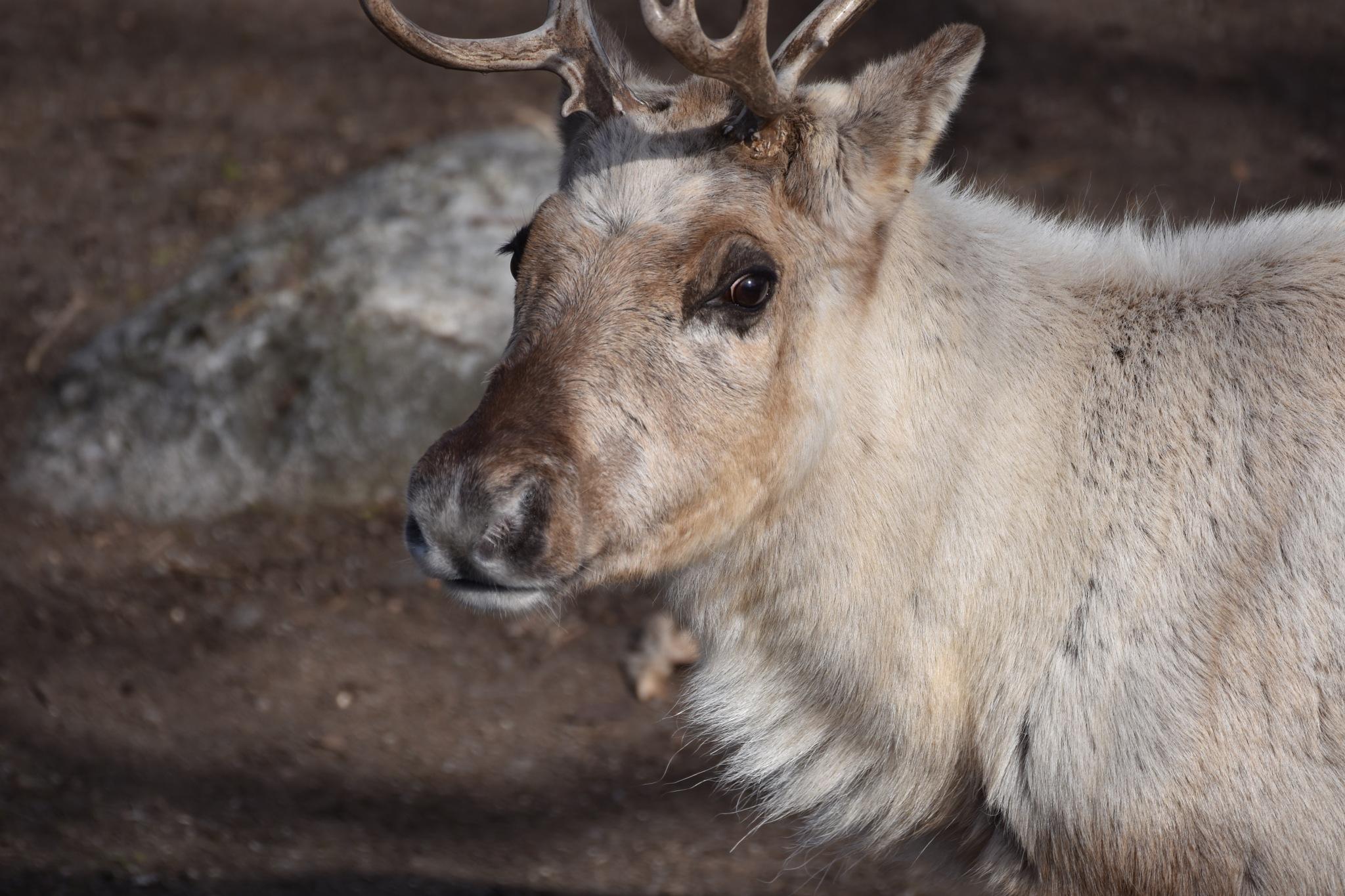 Reindeer by monica.westerholm.5
