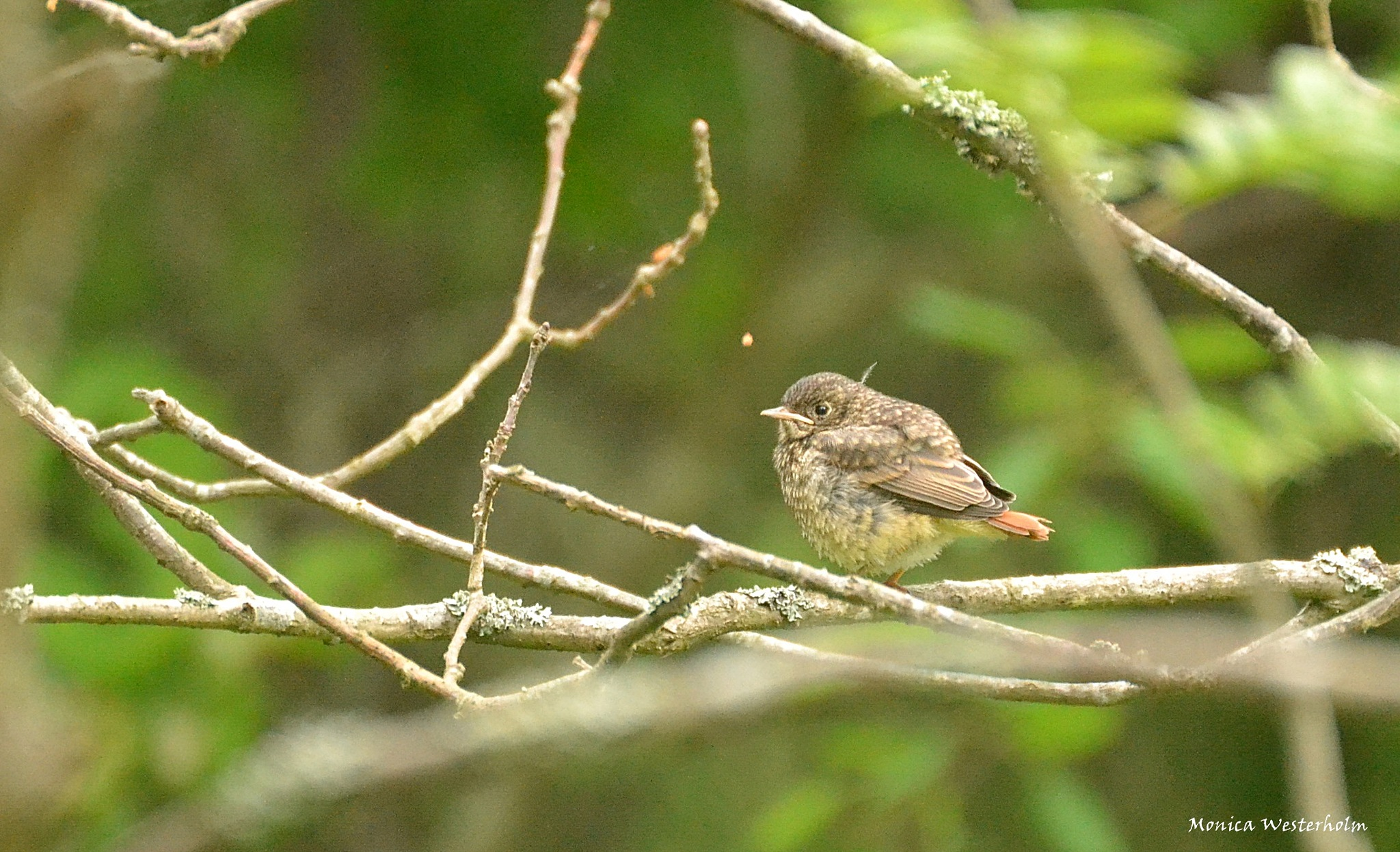 Redstart  by monica.westerholm.5
