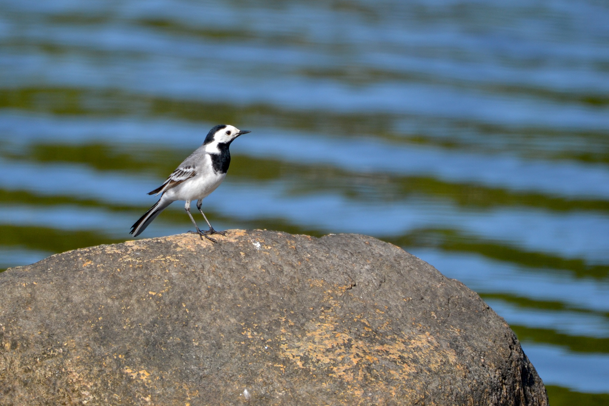 Wagtails by monica.westerholm.5