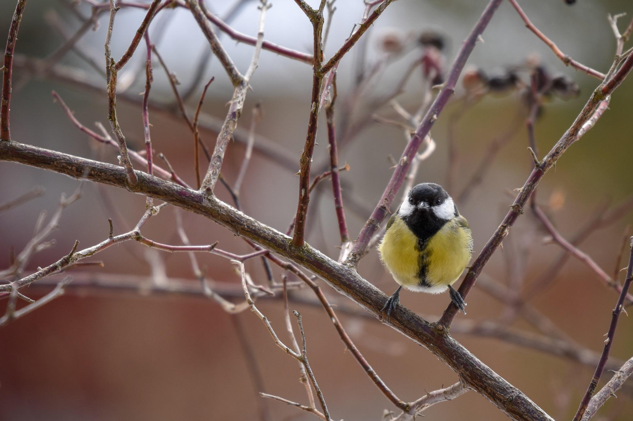Photo in Random #tit #bird #animal
