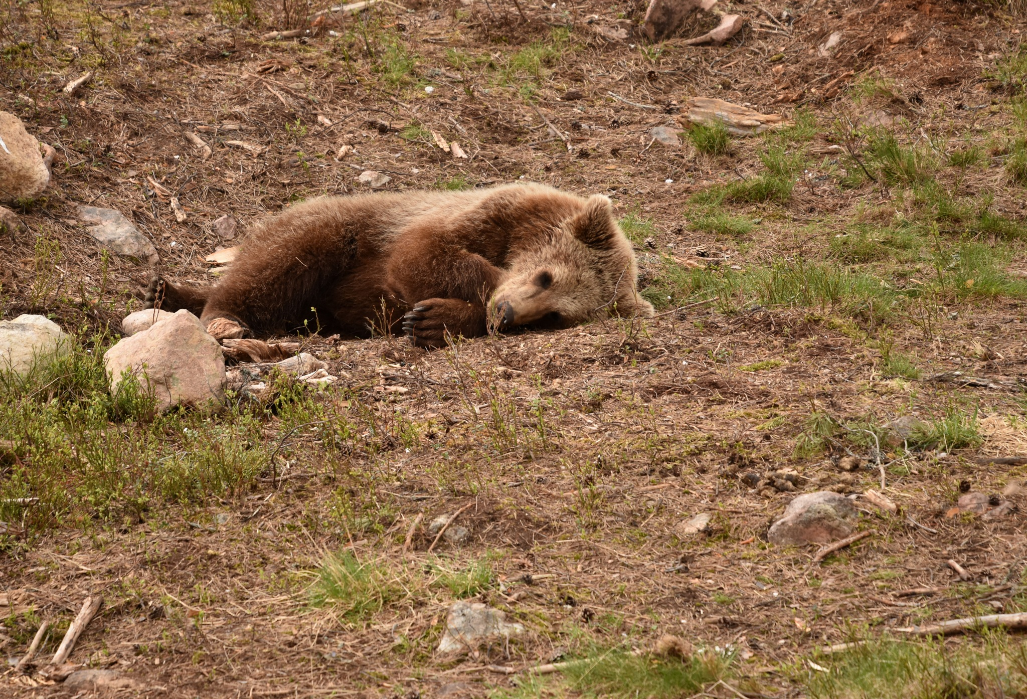 Tired bear at zoo by monica.westerholm.5