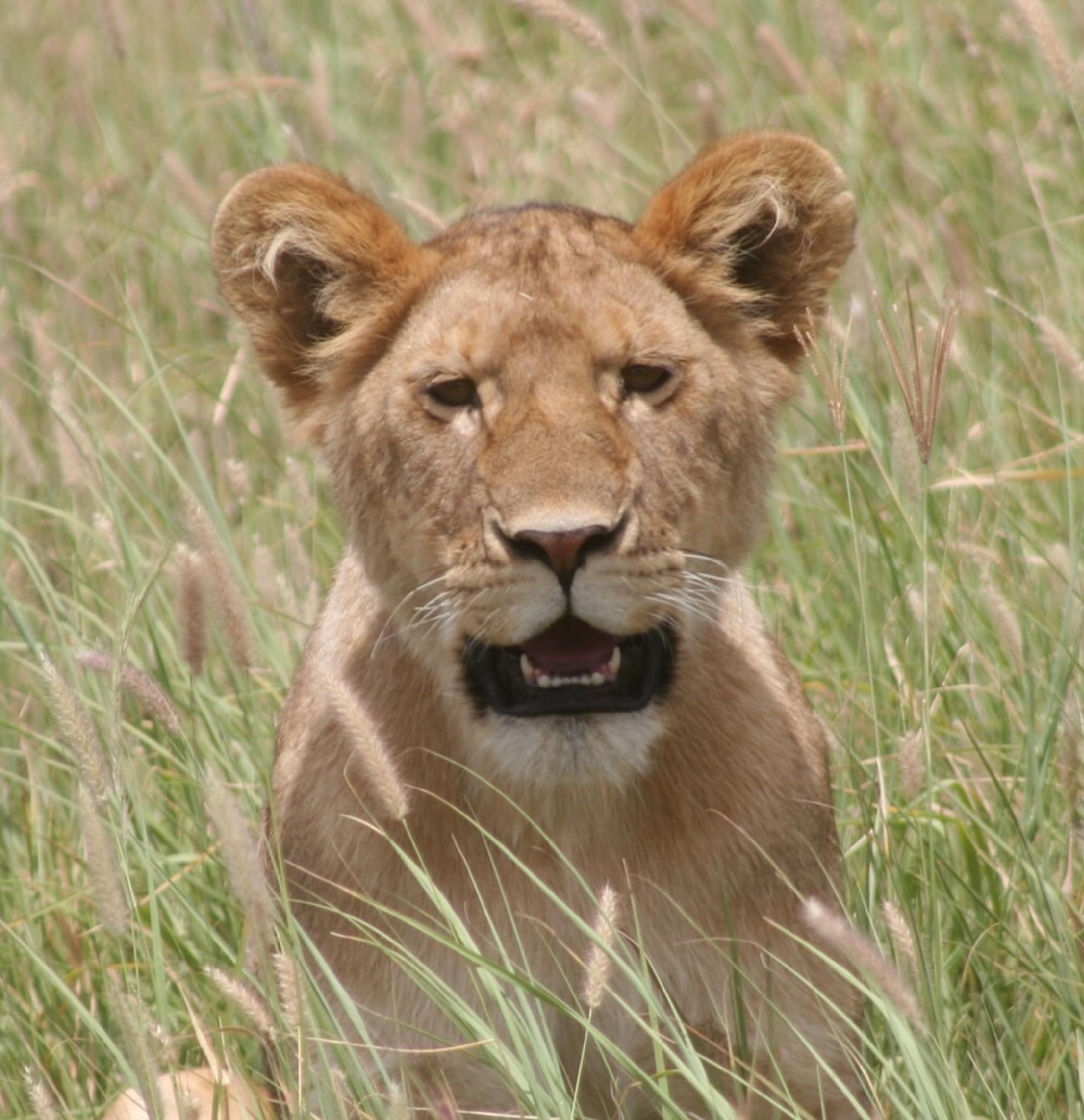 Lion by Atprid