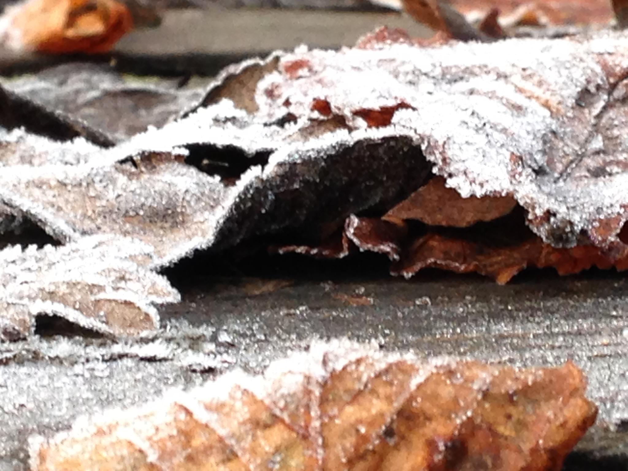 frosty leaves by lesley.rudram