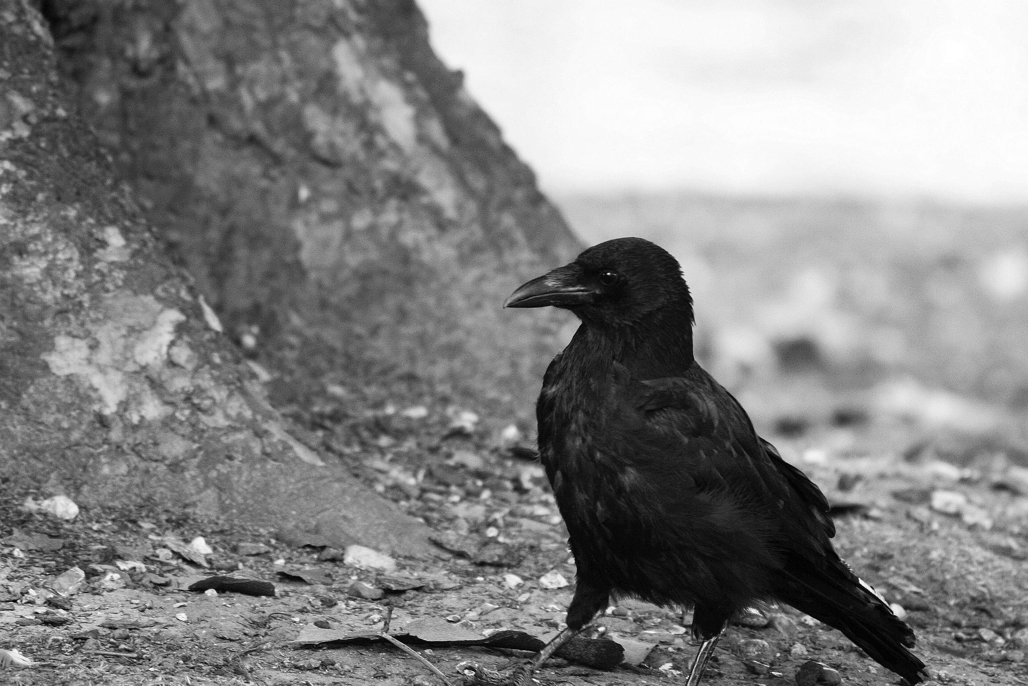 raven by Katrīna Kraukle