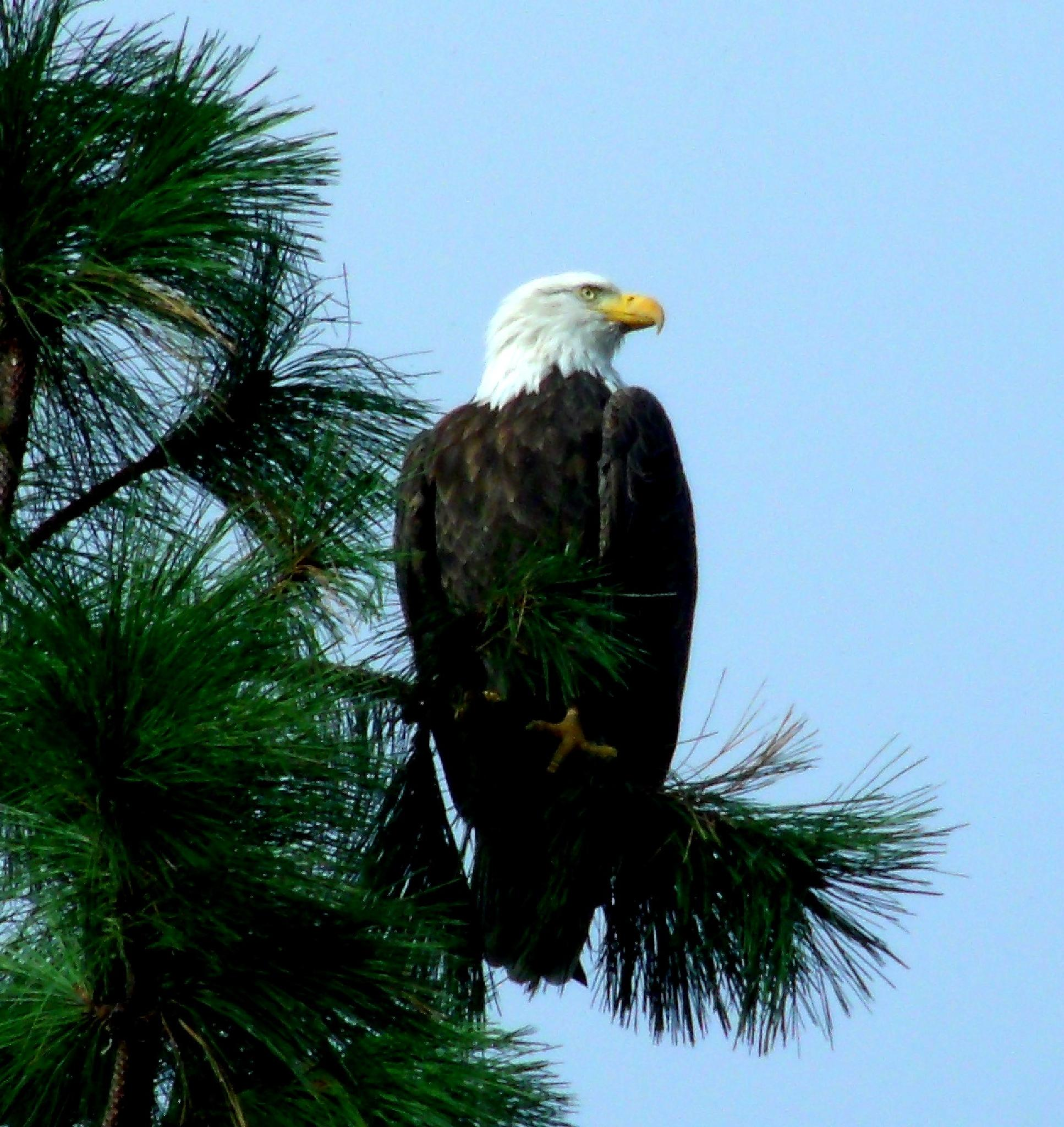 Eagle in my trees by debbie.flores.9085