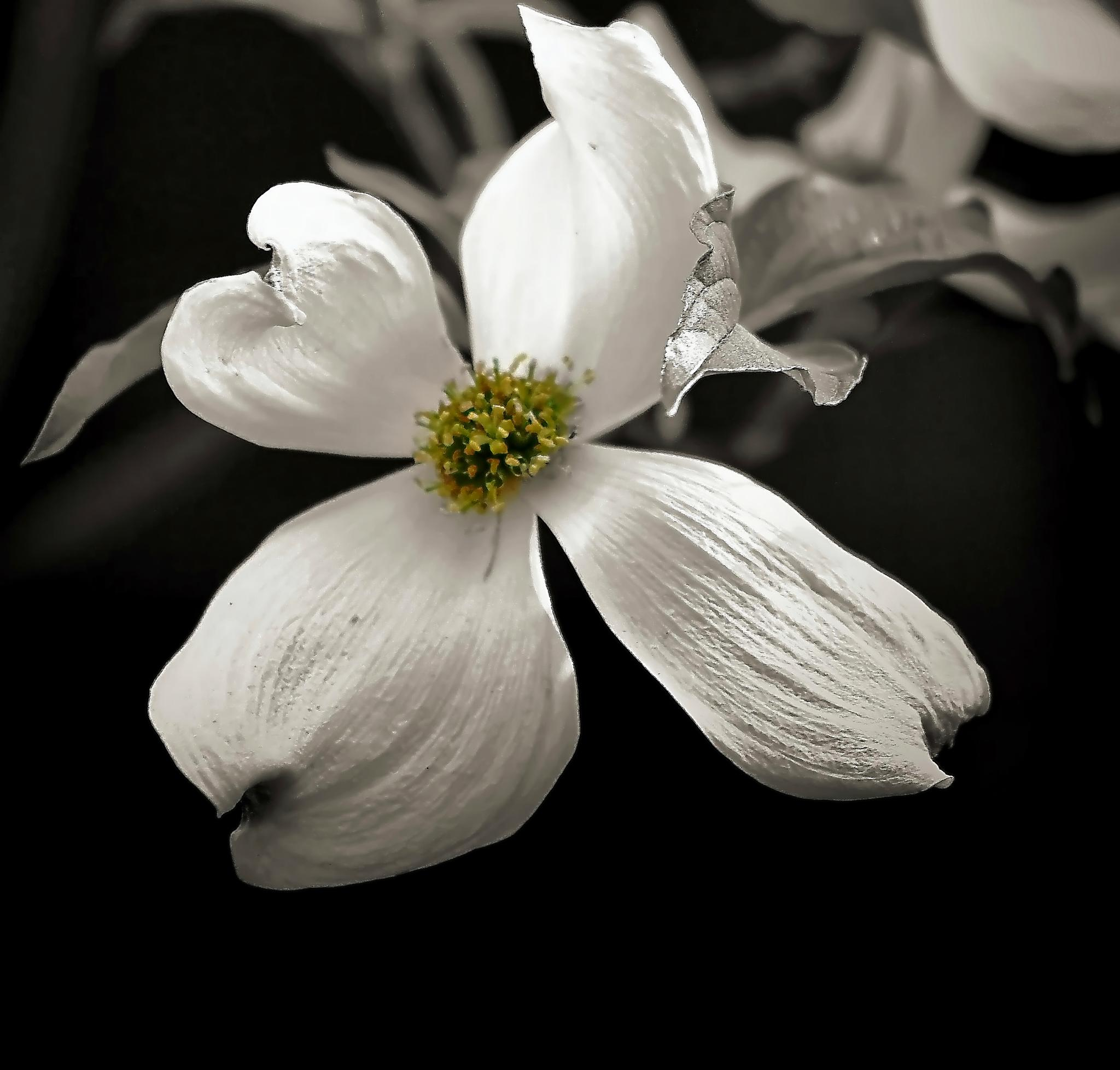 Dogwood Blossom by darlenehoneycutt