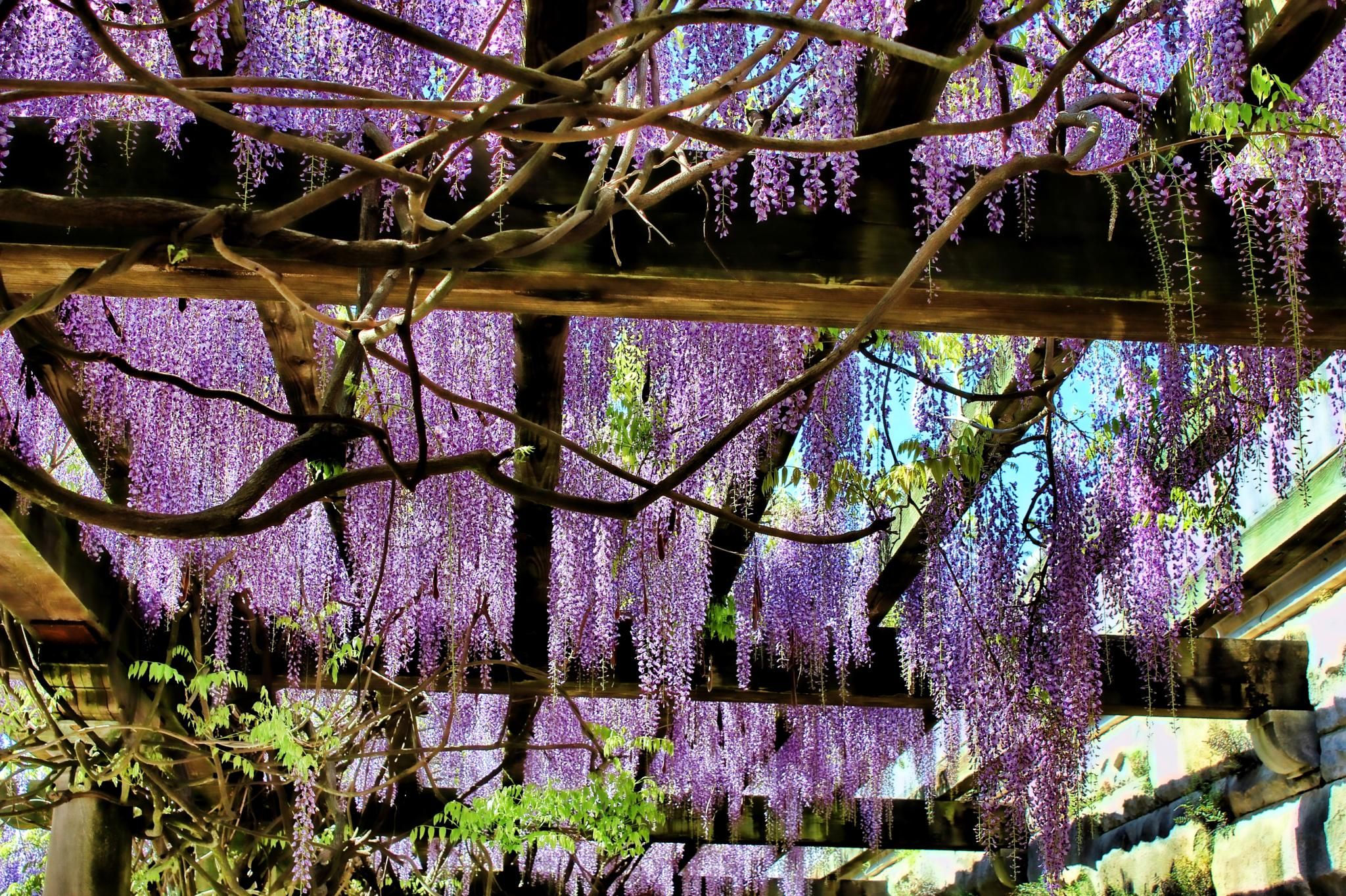 Photo in Nature #nature #arbors #wisteria