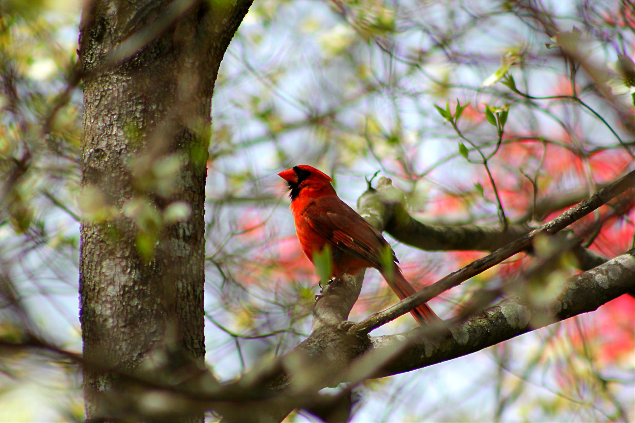 Red Cardinal by darlenehoneycutt
