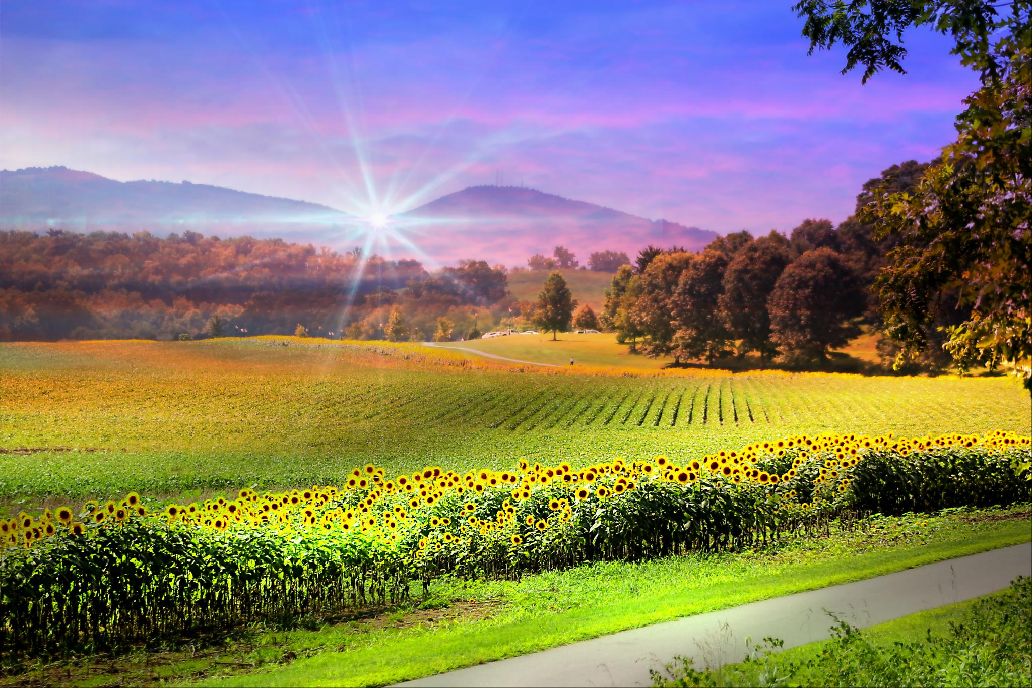 Biltmore Sunflower Field by darlenehoneycutt