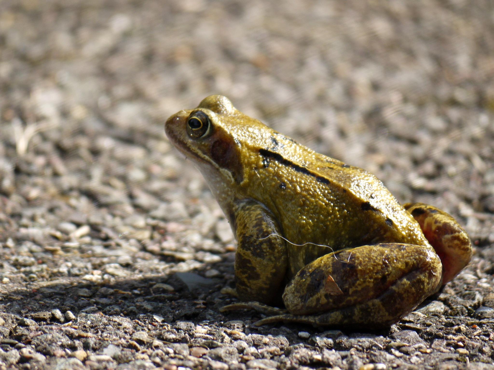 Frog by Derek Hollis