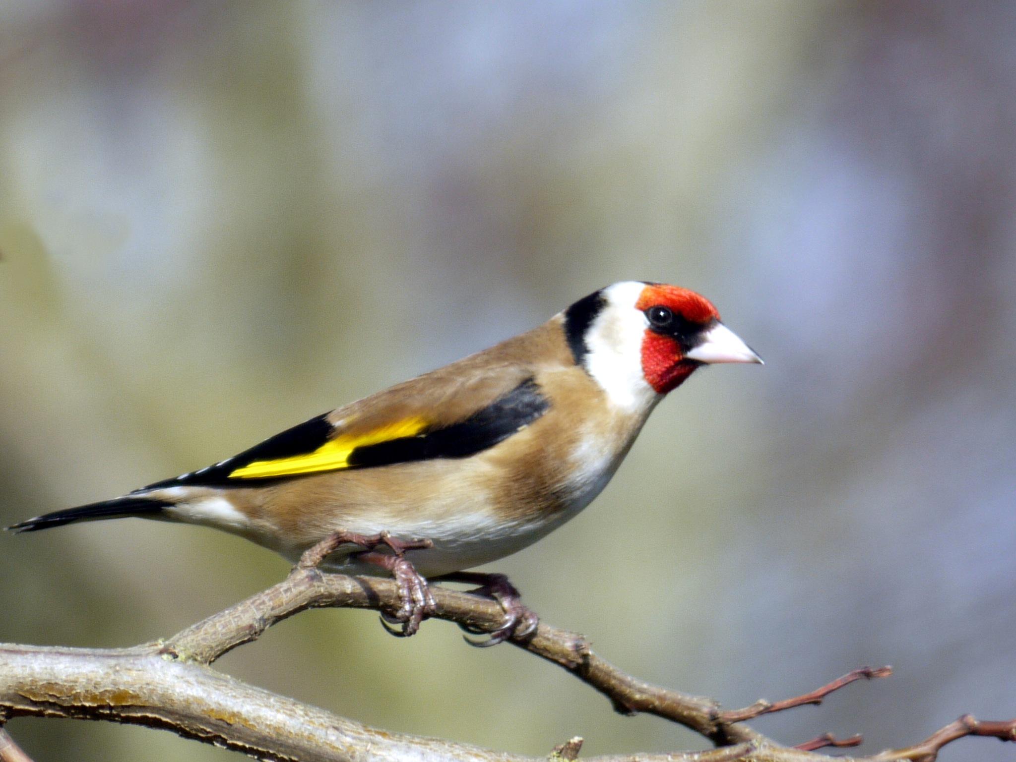 Goldfinch by Derek Hollis