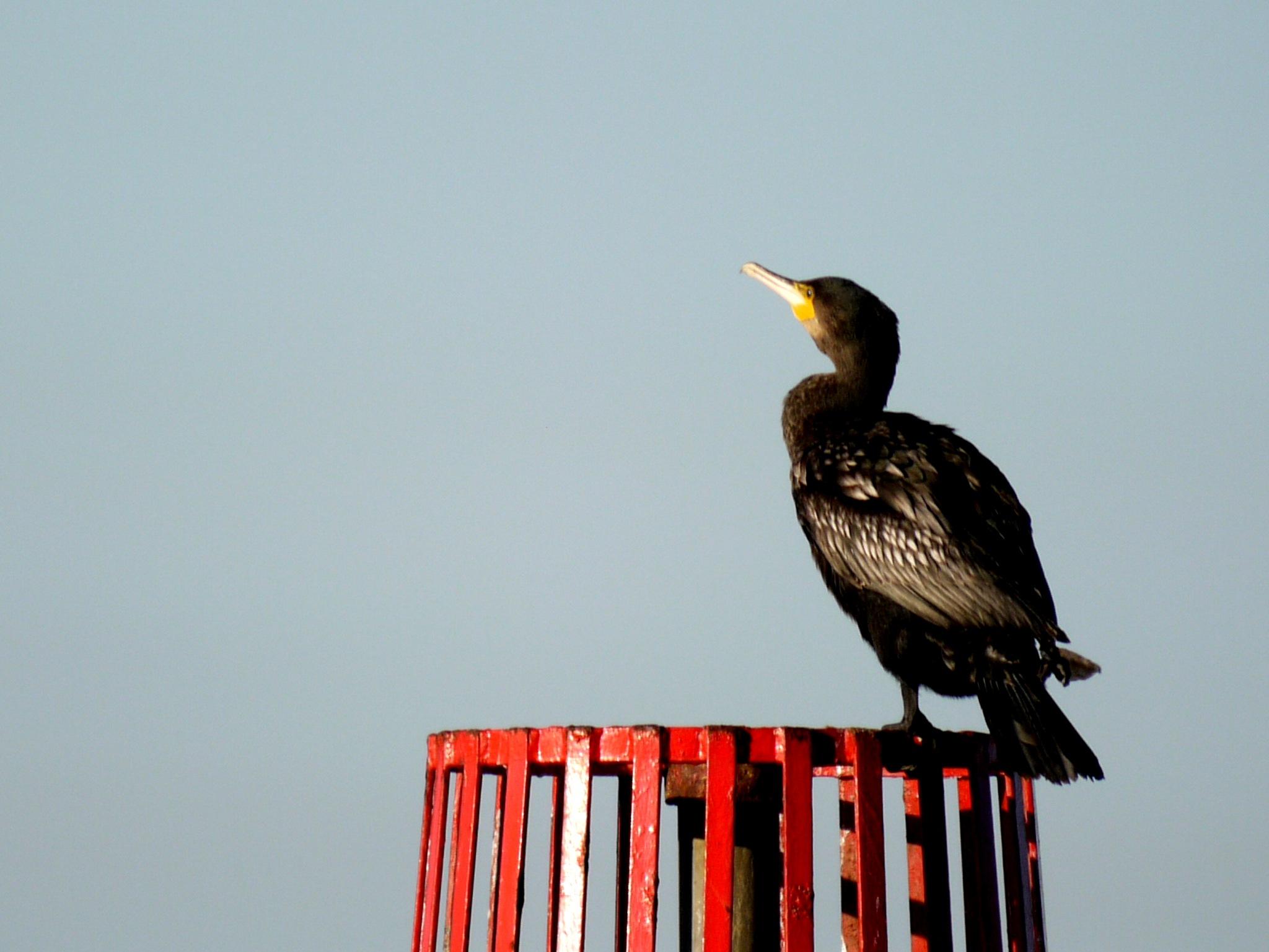 Cormorant by Derek Hollis