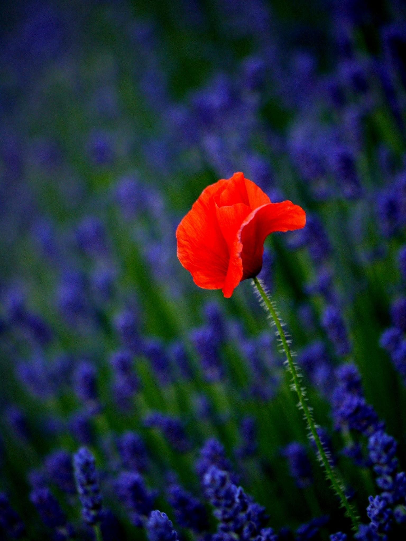 Poppy in lavender  by Derek Hollis