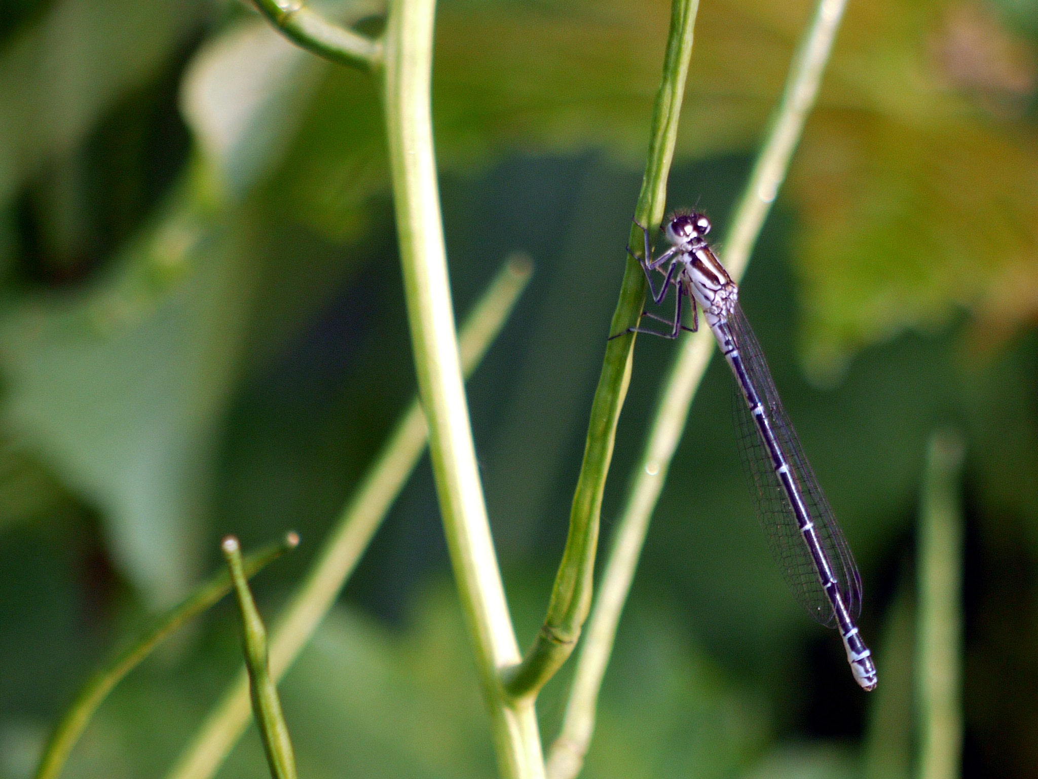 Damselfly by Derek Hollis