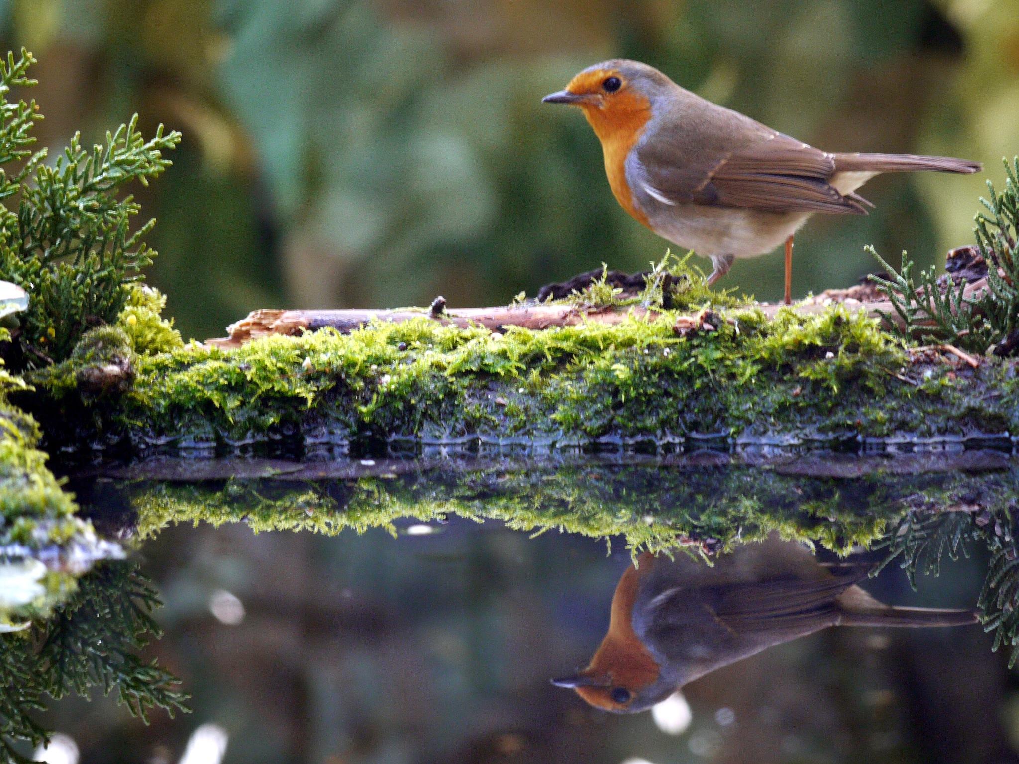 Robin by Derek Hollis
