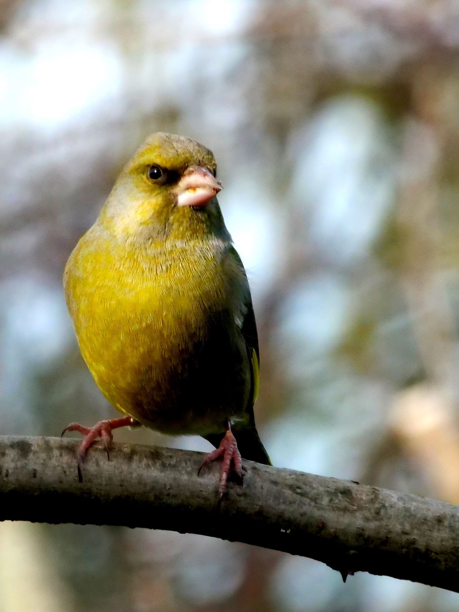 Photo in Nature #greenfinch #finch #bird