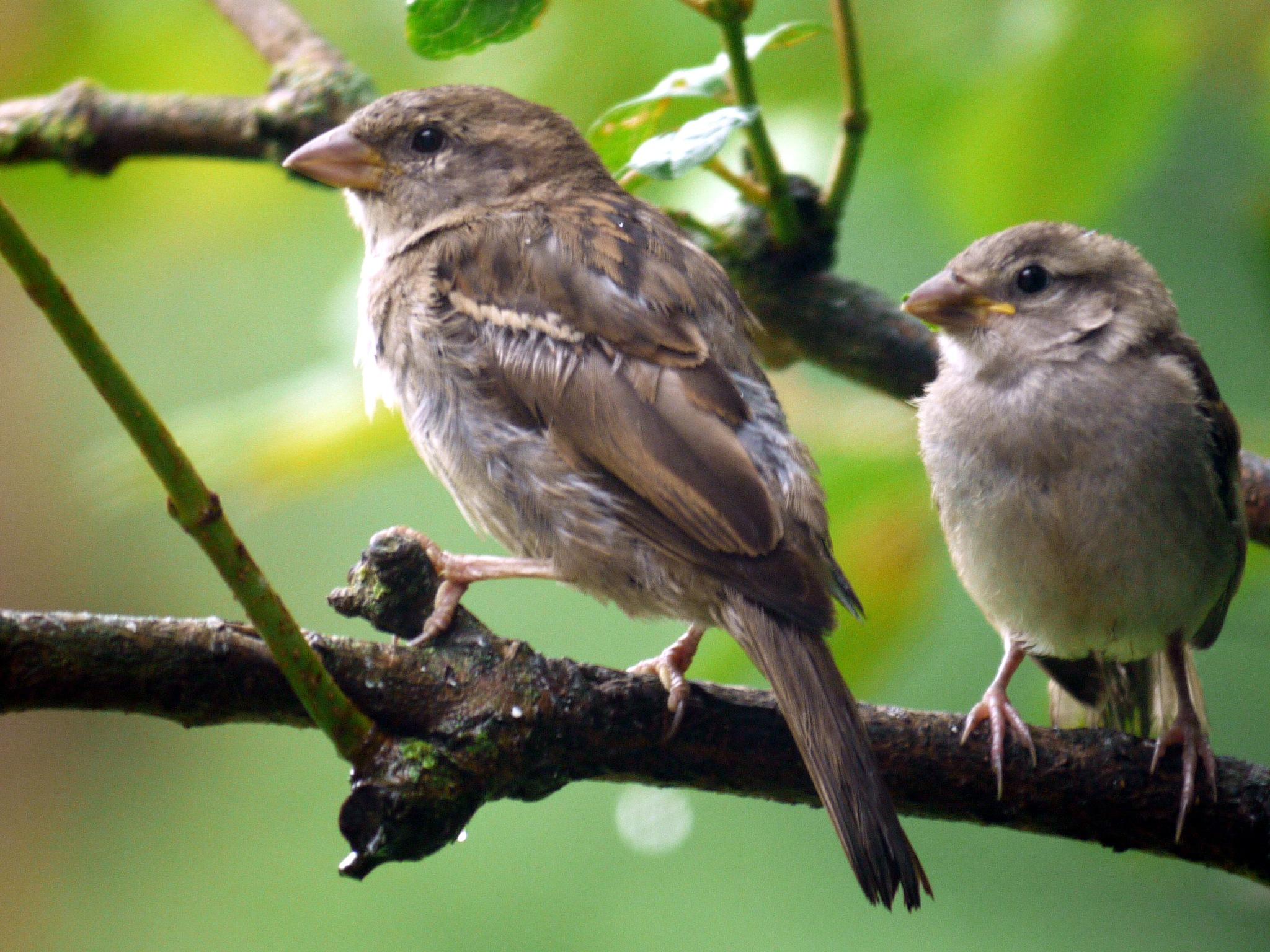 House sparrows by Derek Hollis