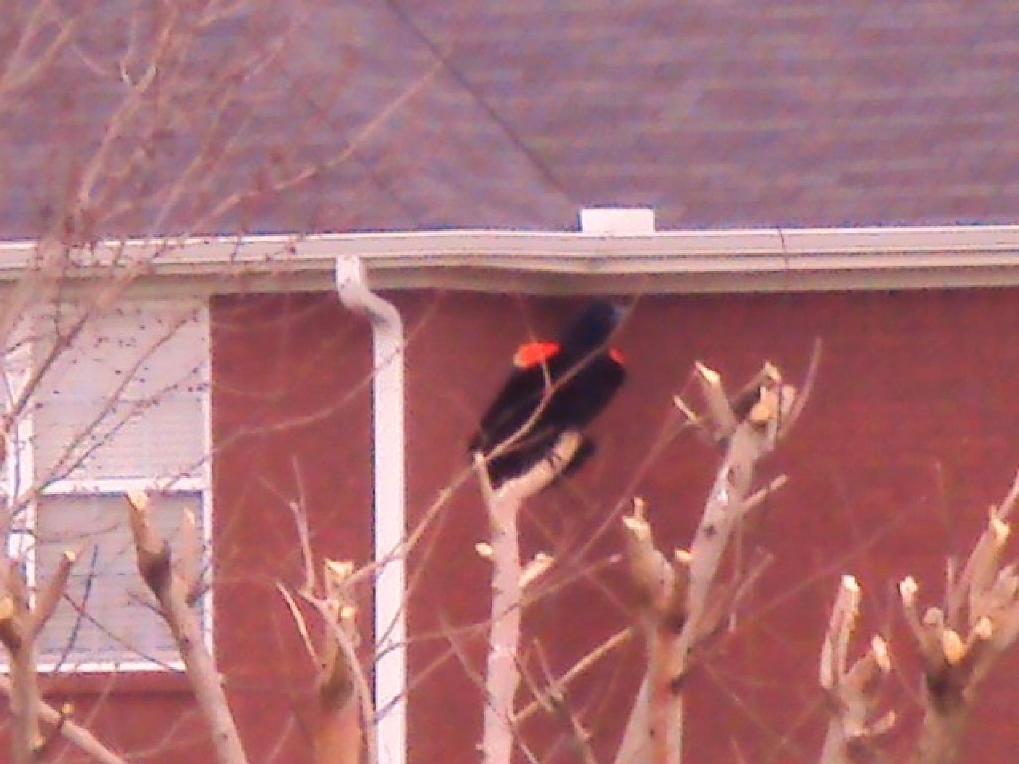 Red Wing Blackbird by Mahnaz & Yelda
