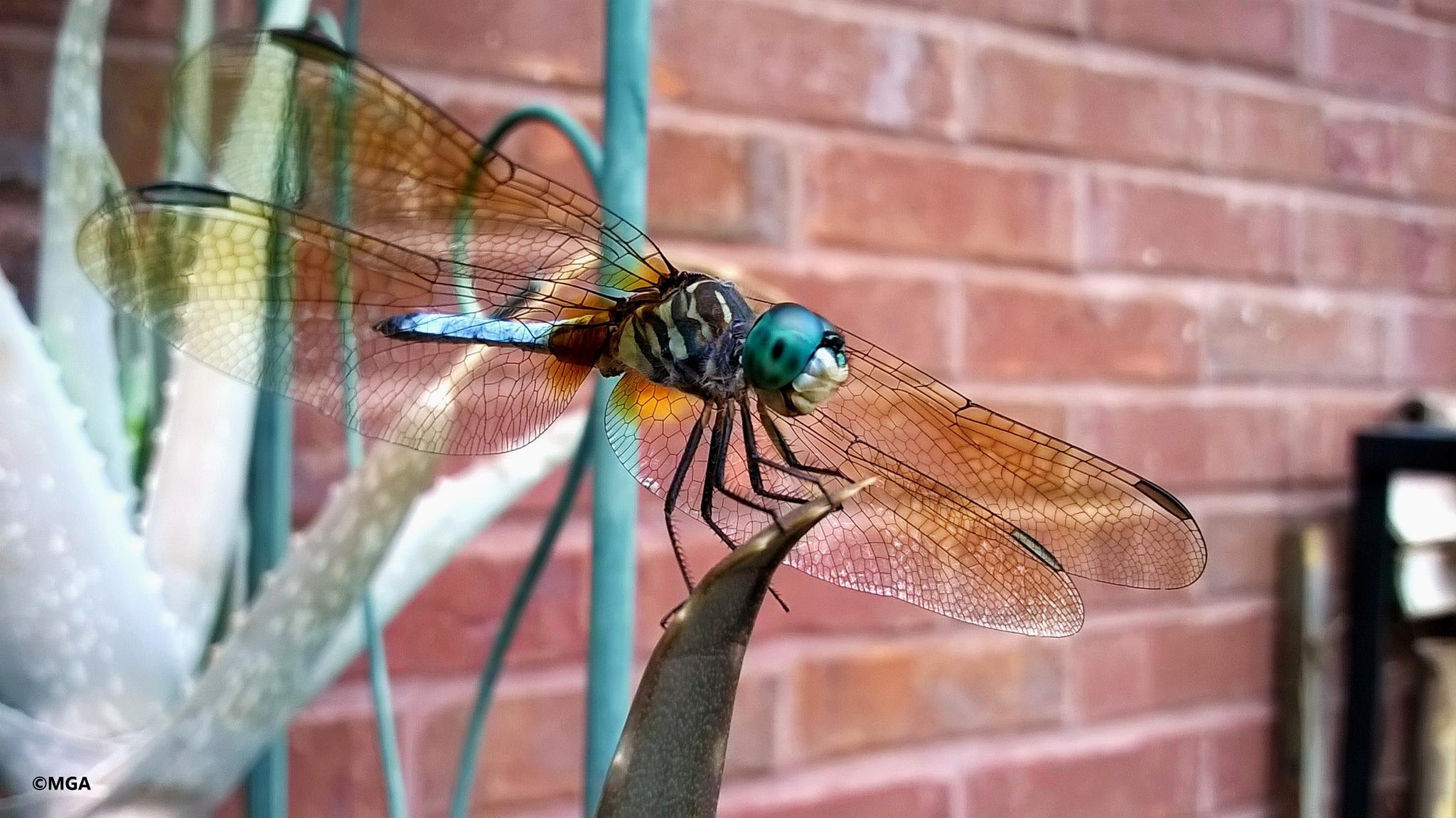 dragonfly 2 by Mahnaz & Yelda