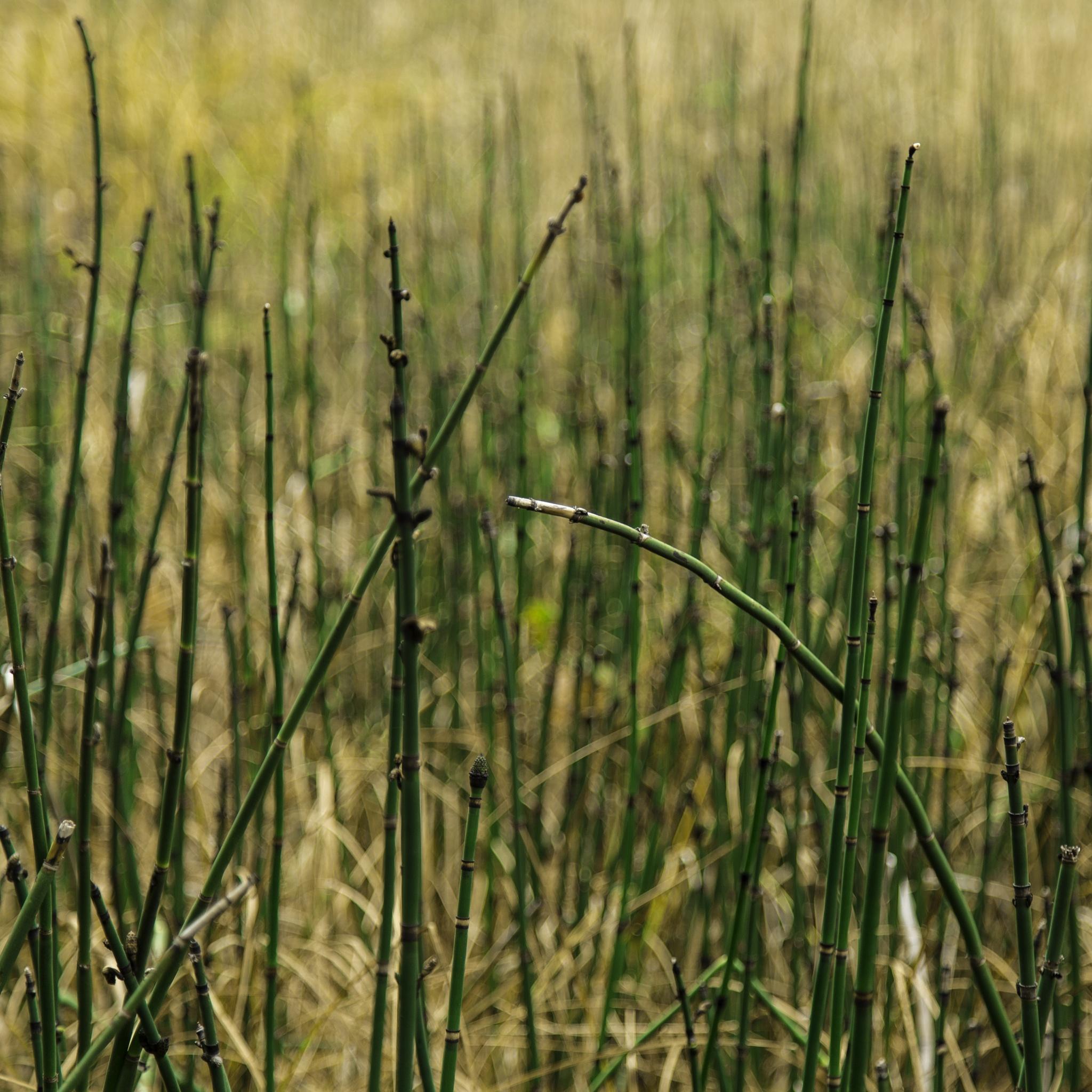 Horsetail Reed by Steve K