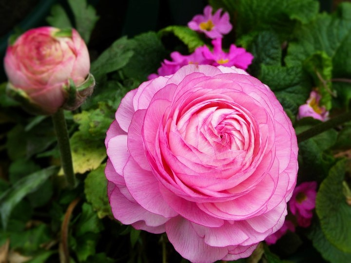 First ever picture I took on a professional camera - Pink rose by andrea.lysons