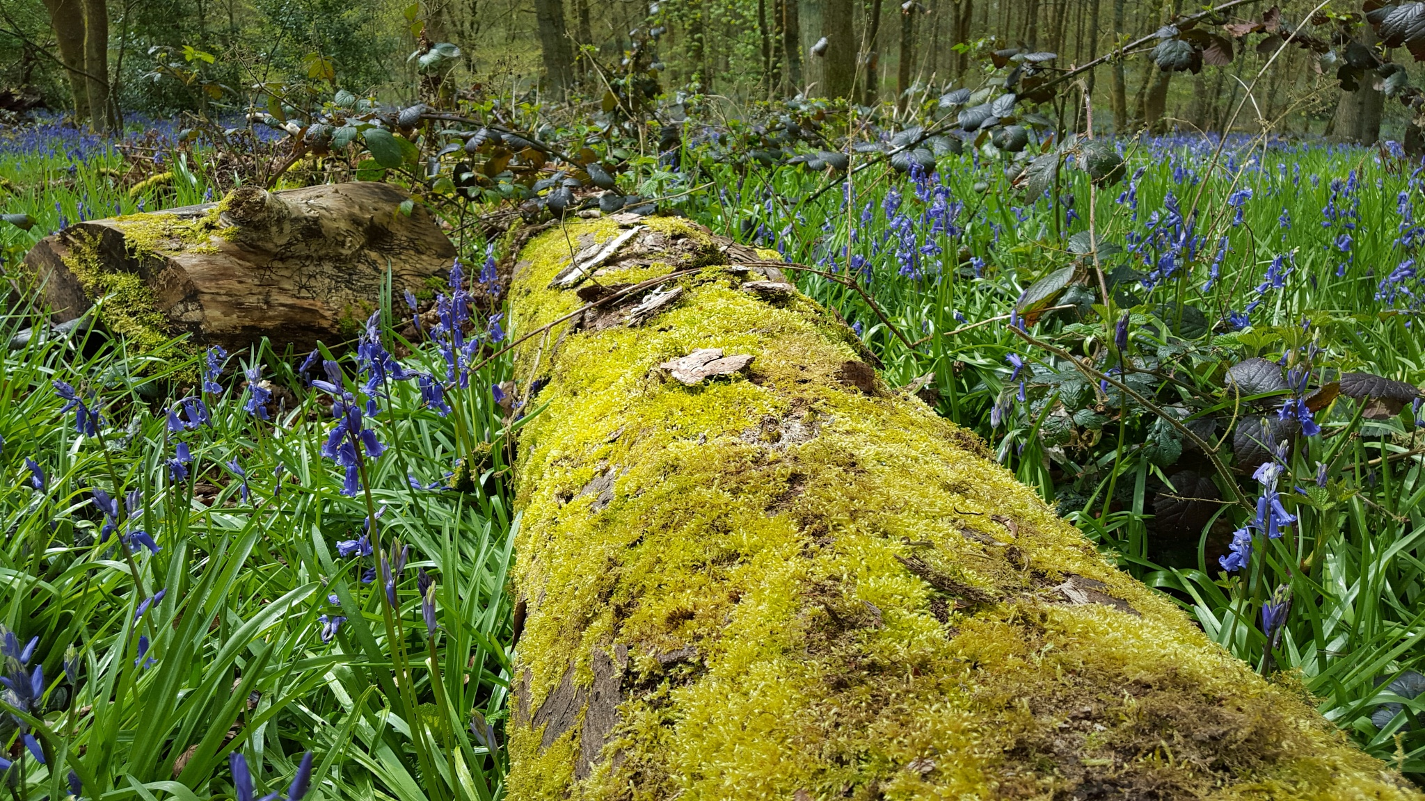 Mossy log amongst the bluebells by andrea.lysons