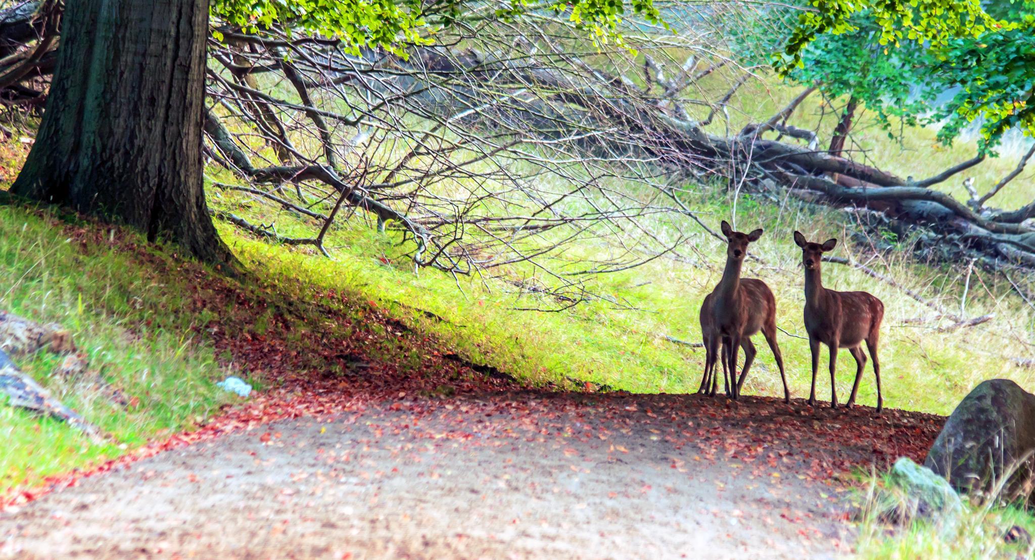 Deer by M. Loeth