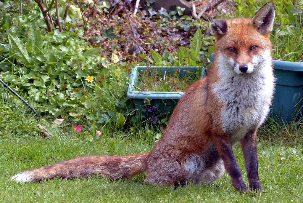 #Fox #Wildlife #England by Malc Thomason