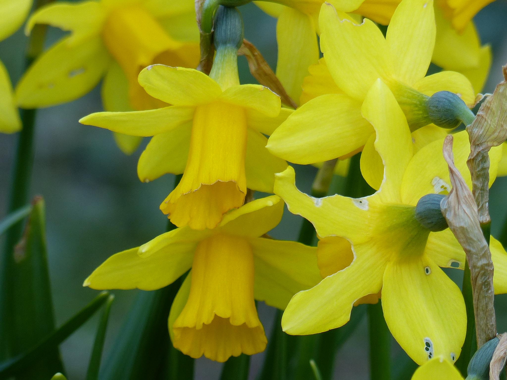 Mini Daffodil's by Malc Thomason