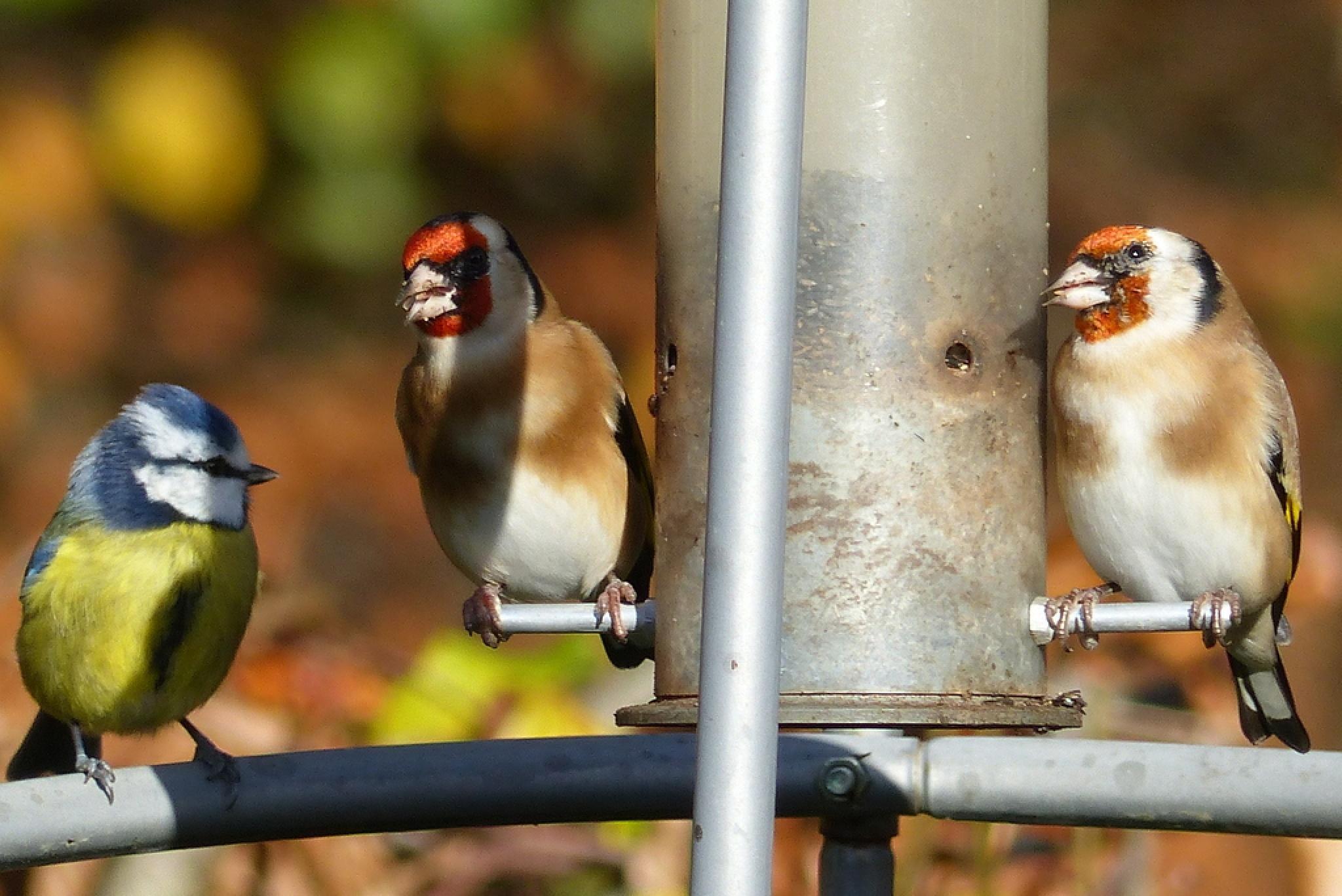 Wait your turn Shorty ! #BlueTit #Goldfinch by Malc Thomason