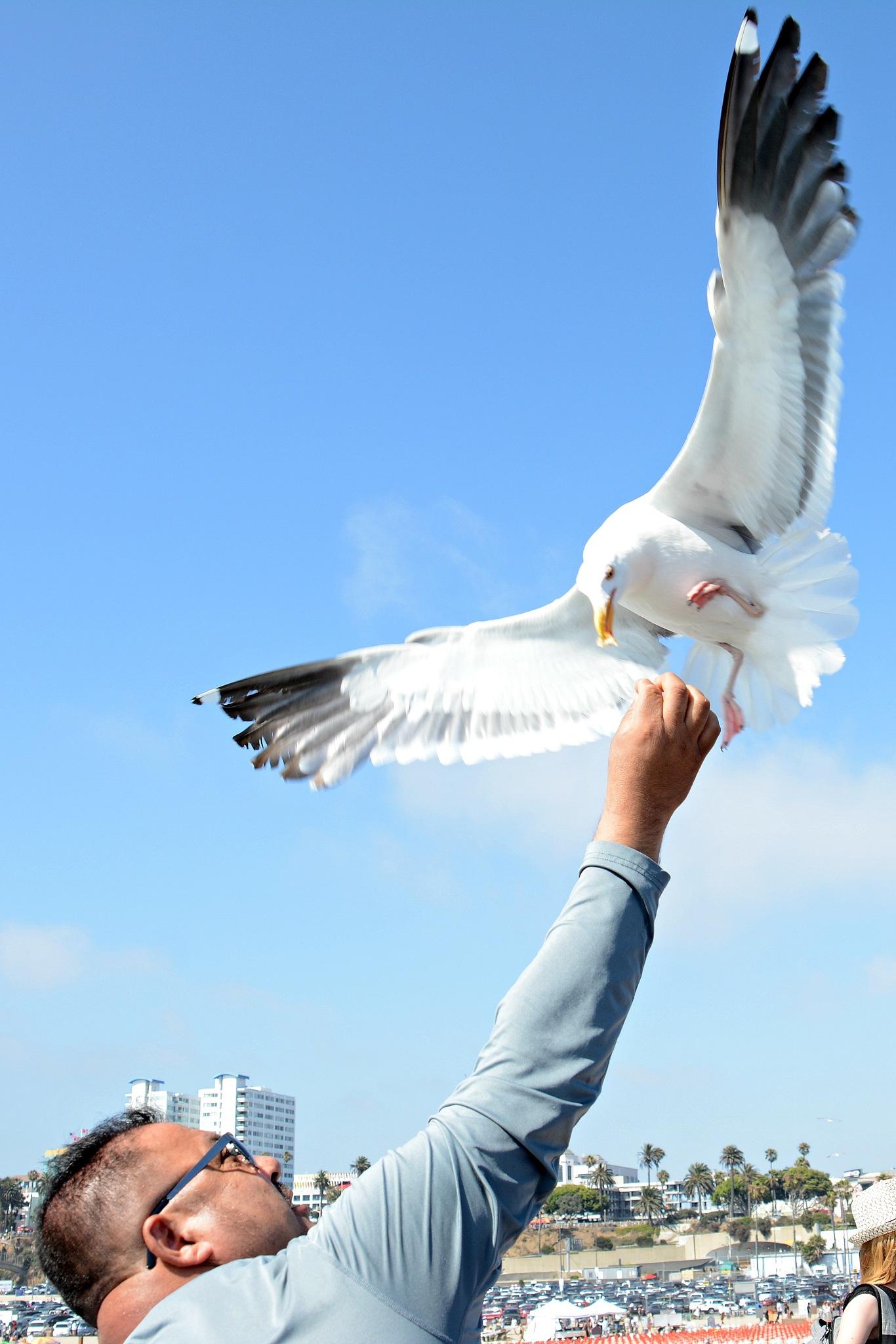 Feeding Gull by Solomon Aseoche