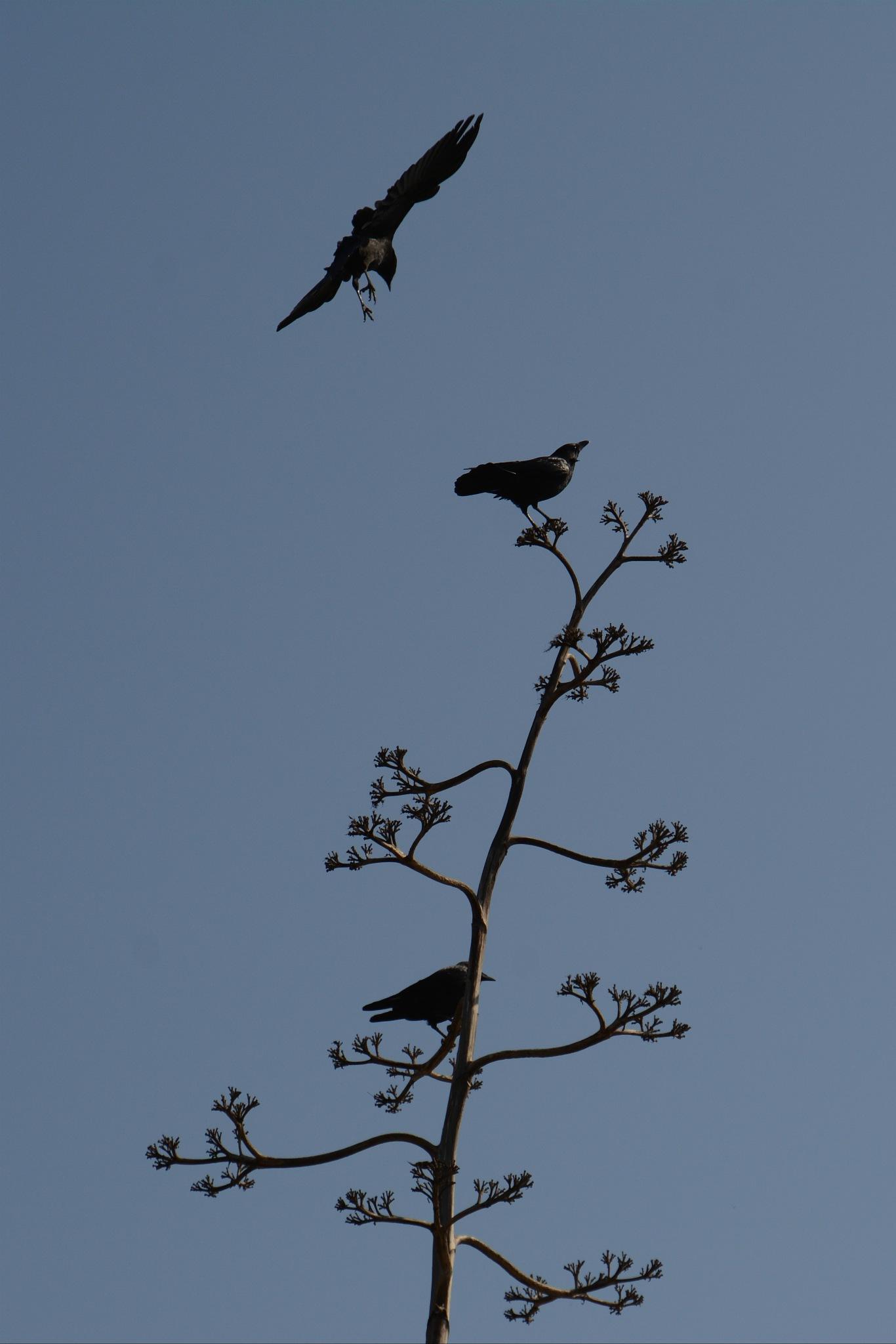 Crow by Solomon Aseoche