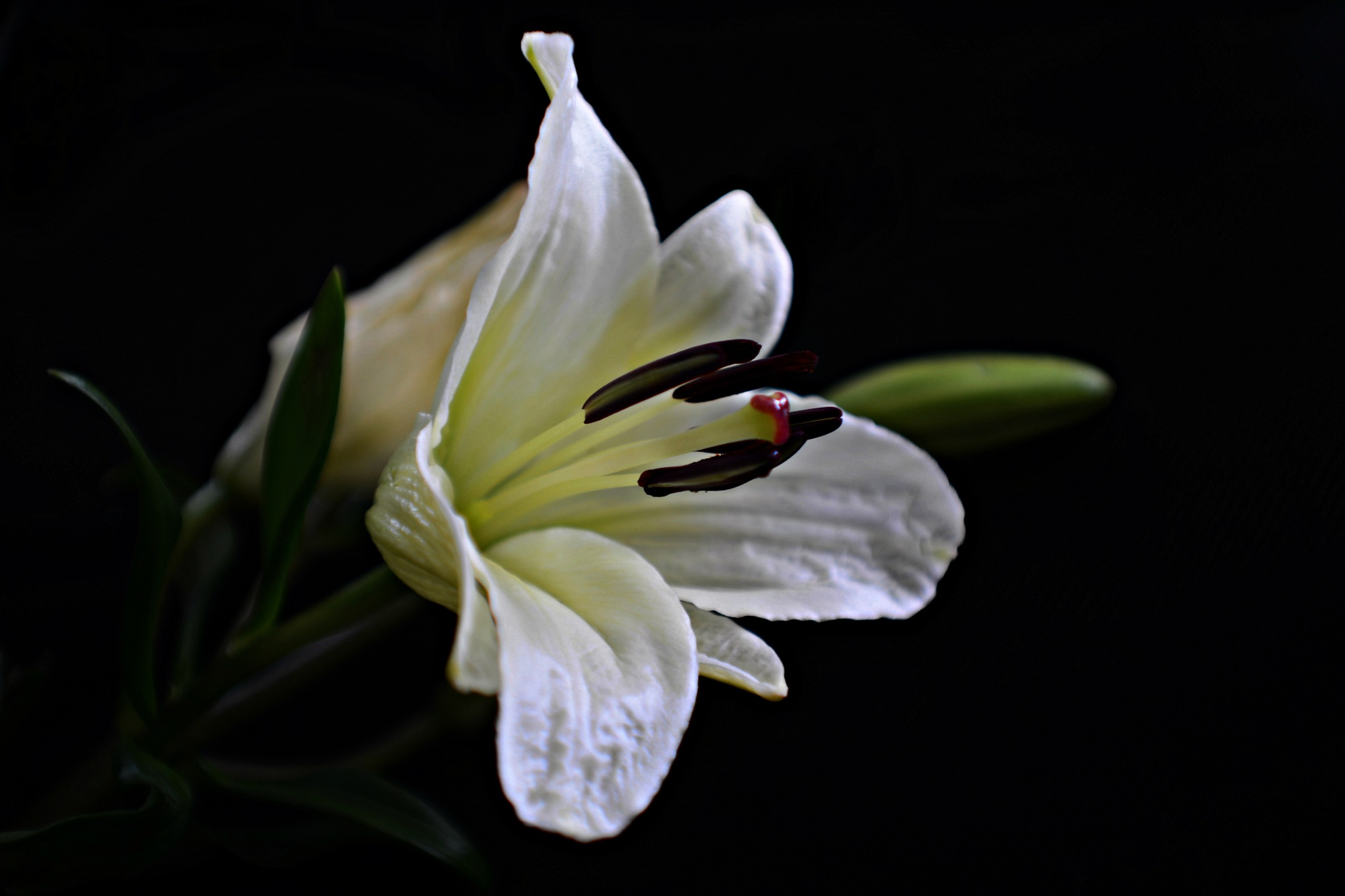 White Lily by Solomon Aseoche