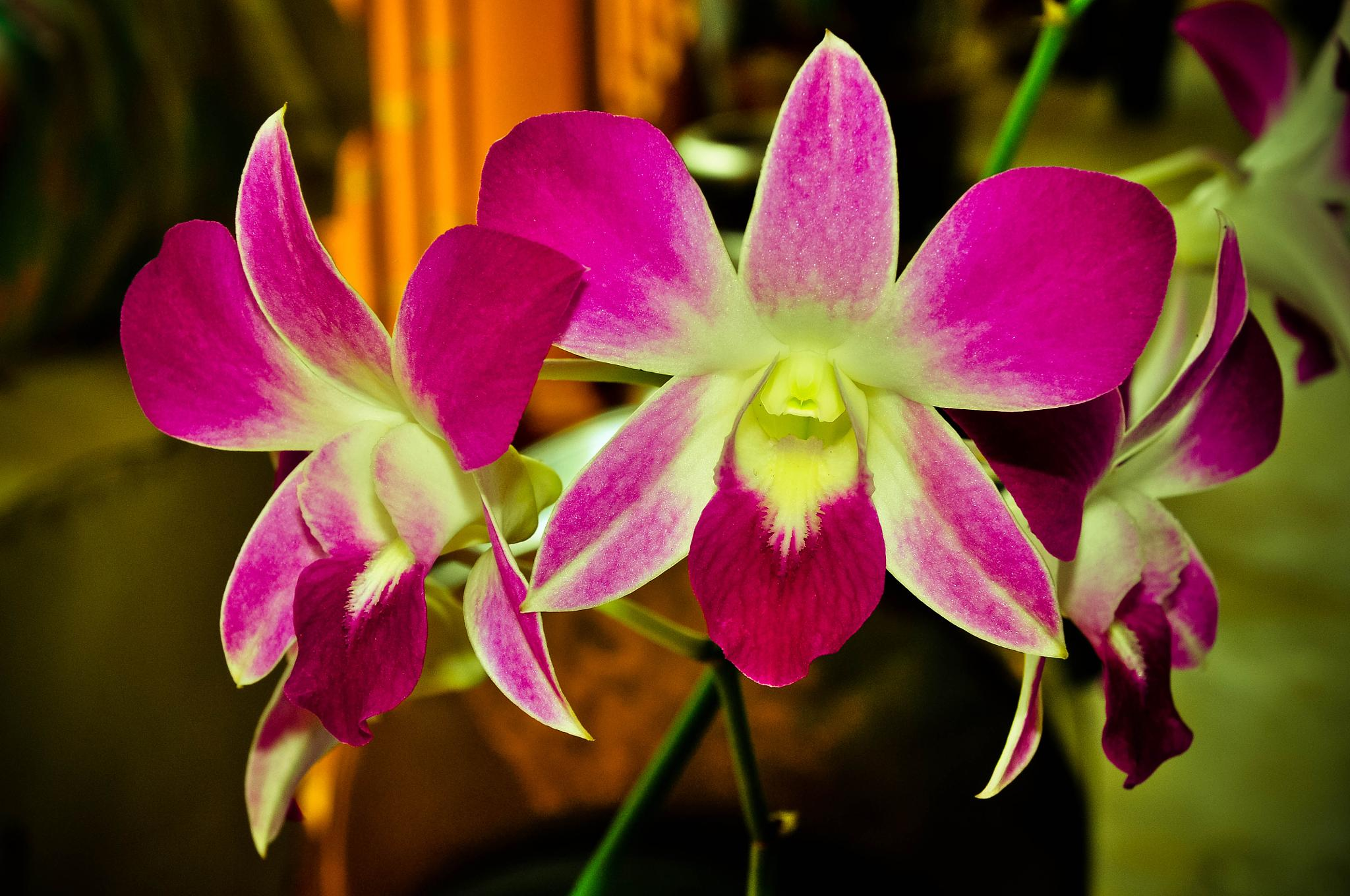 Malaysia Orchid Flower by Nor Ikhsan Ismail
