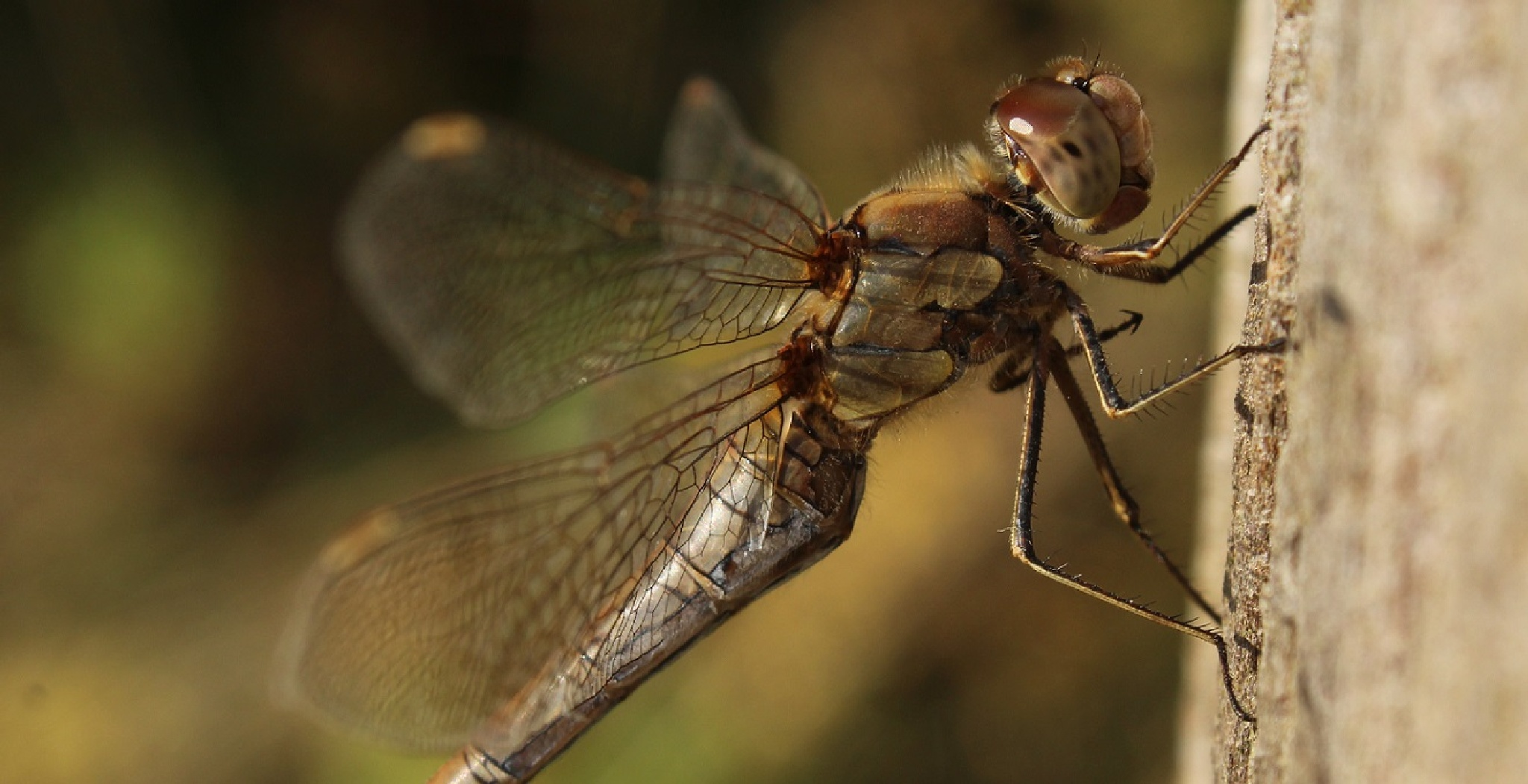 Common Darter Dragonfly by jodie.mellowship
