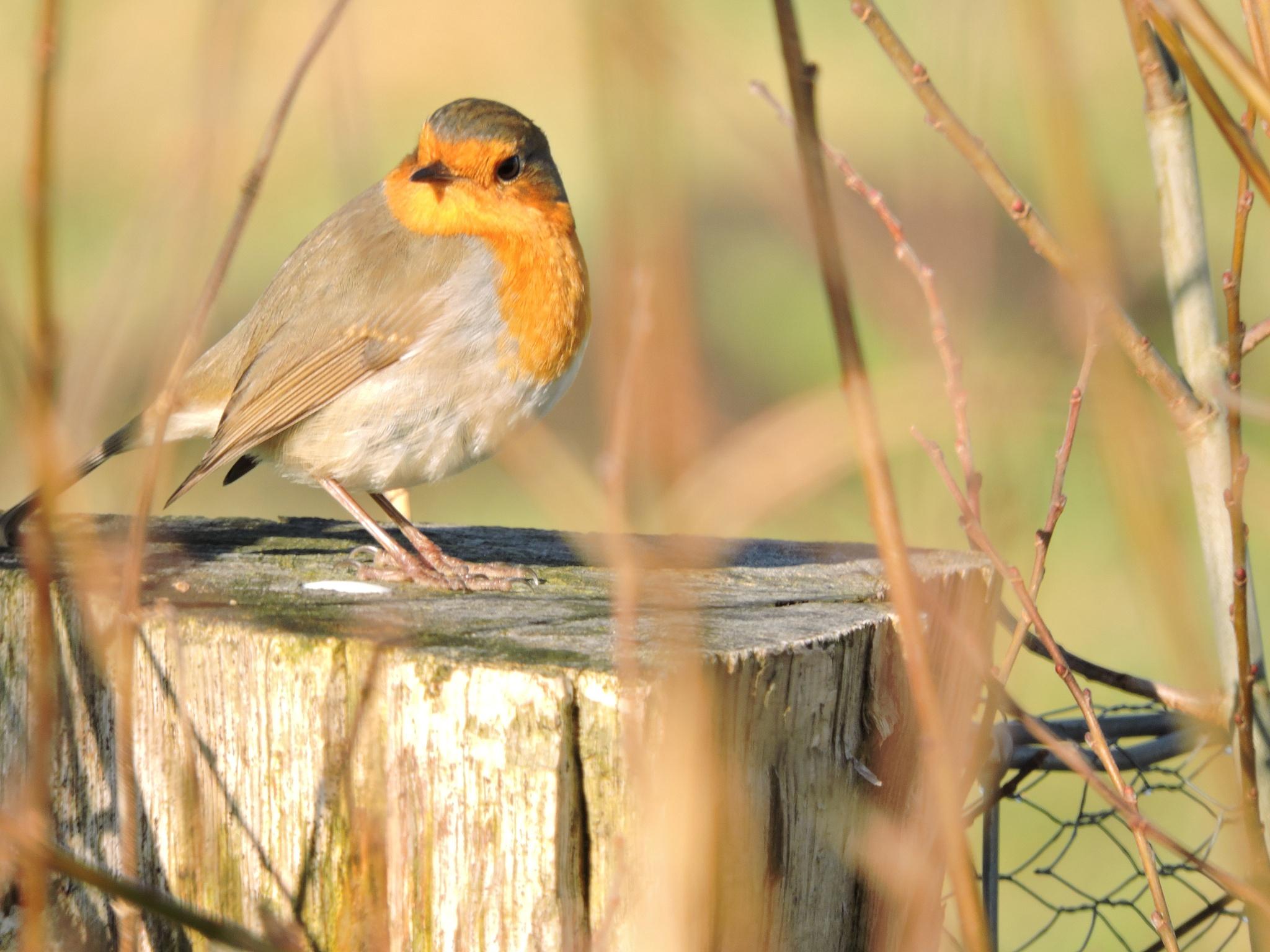 Robin by FranklinB