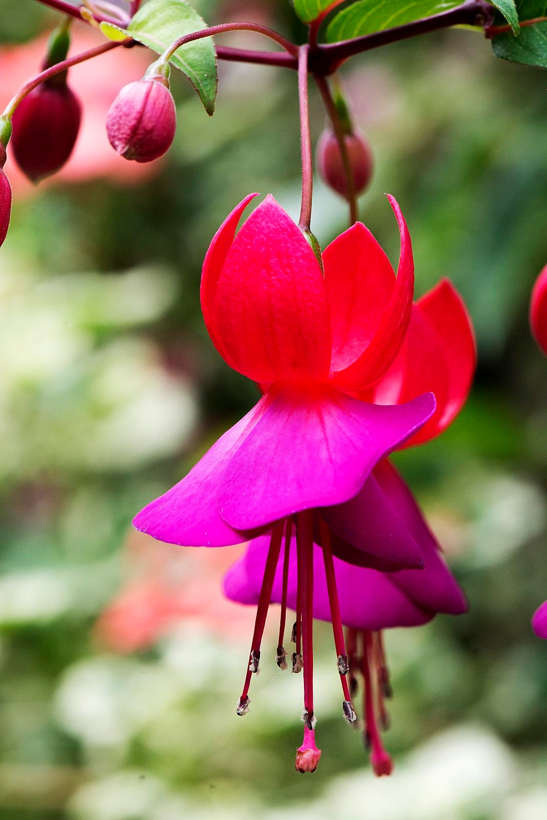 Olveston House Flowers - Fuschia by TerraEncounters