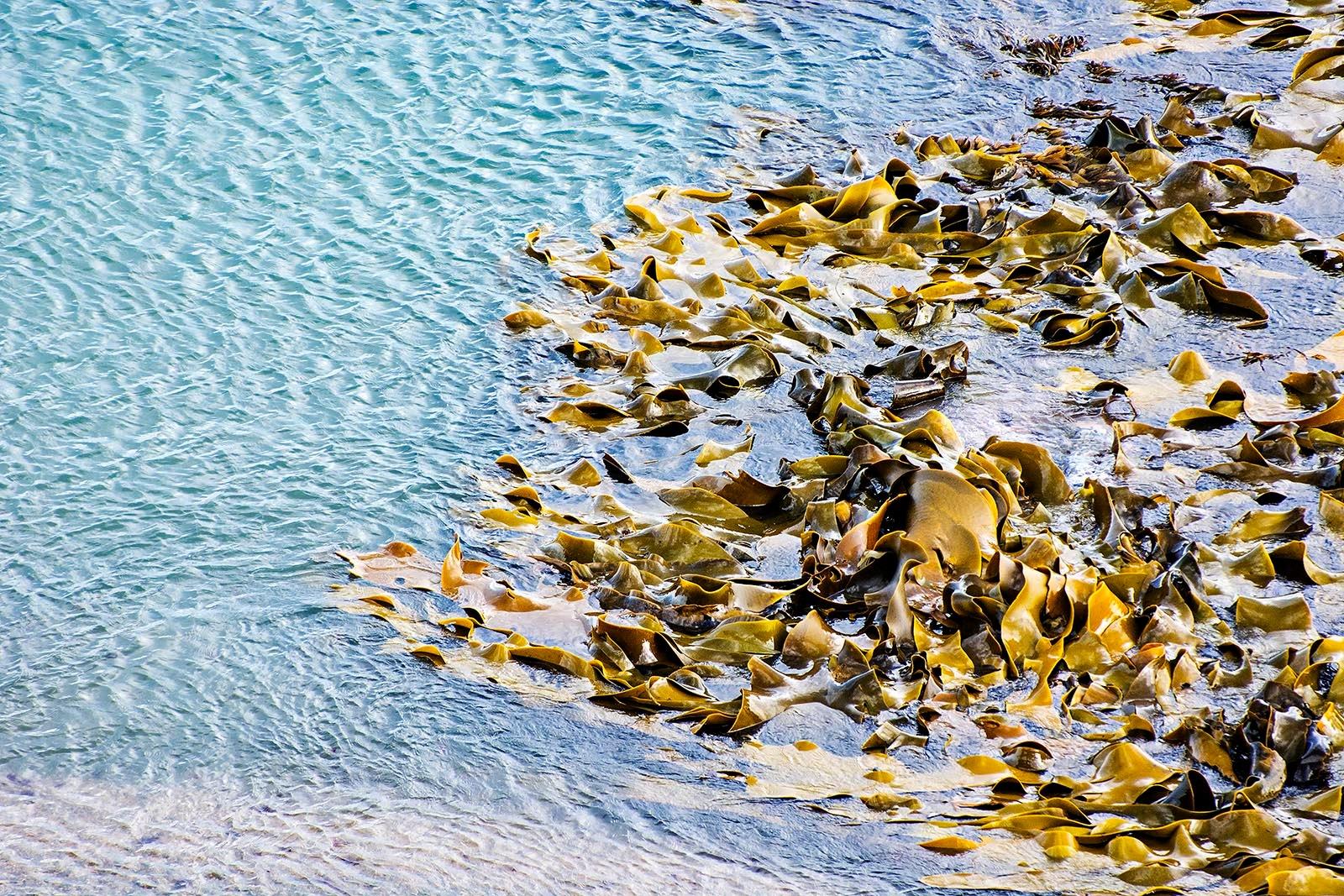 Bushy Beach Kelp by TerraEncounters