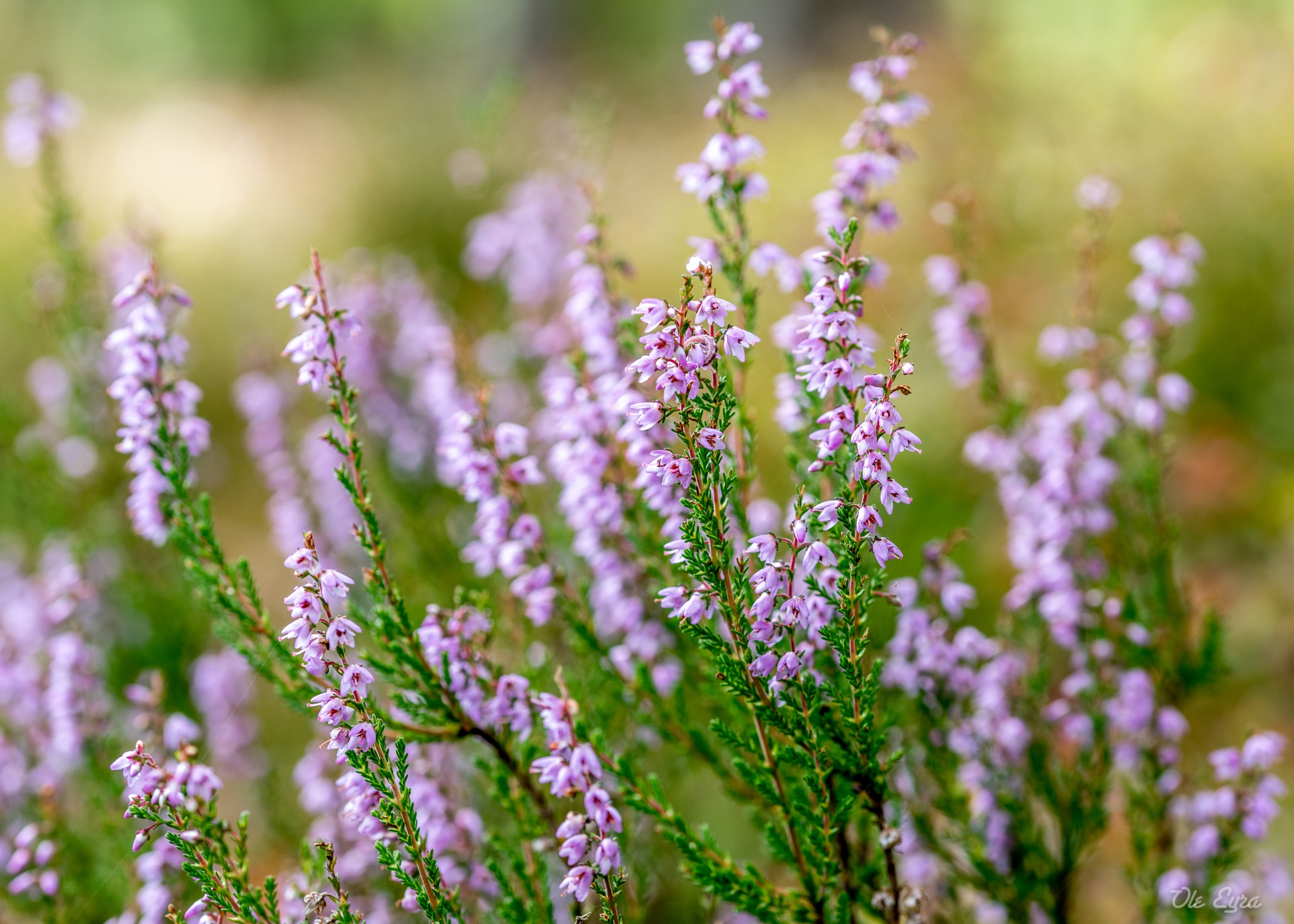 More Heather by Ole Morten Eyra
