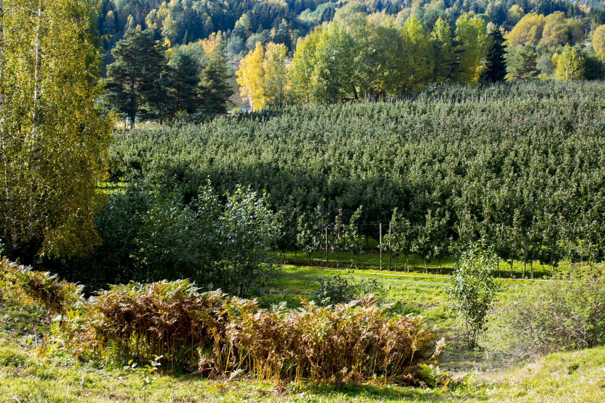 Apple Farm by Ole Morten Eyra