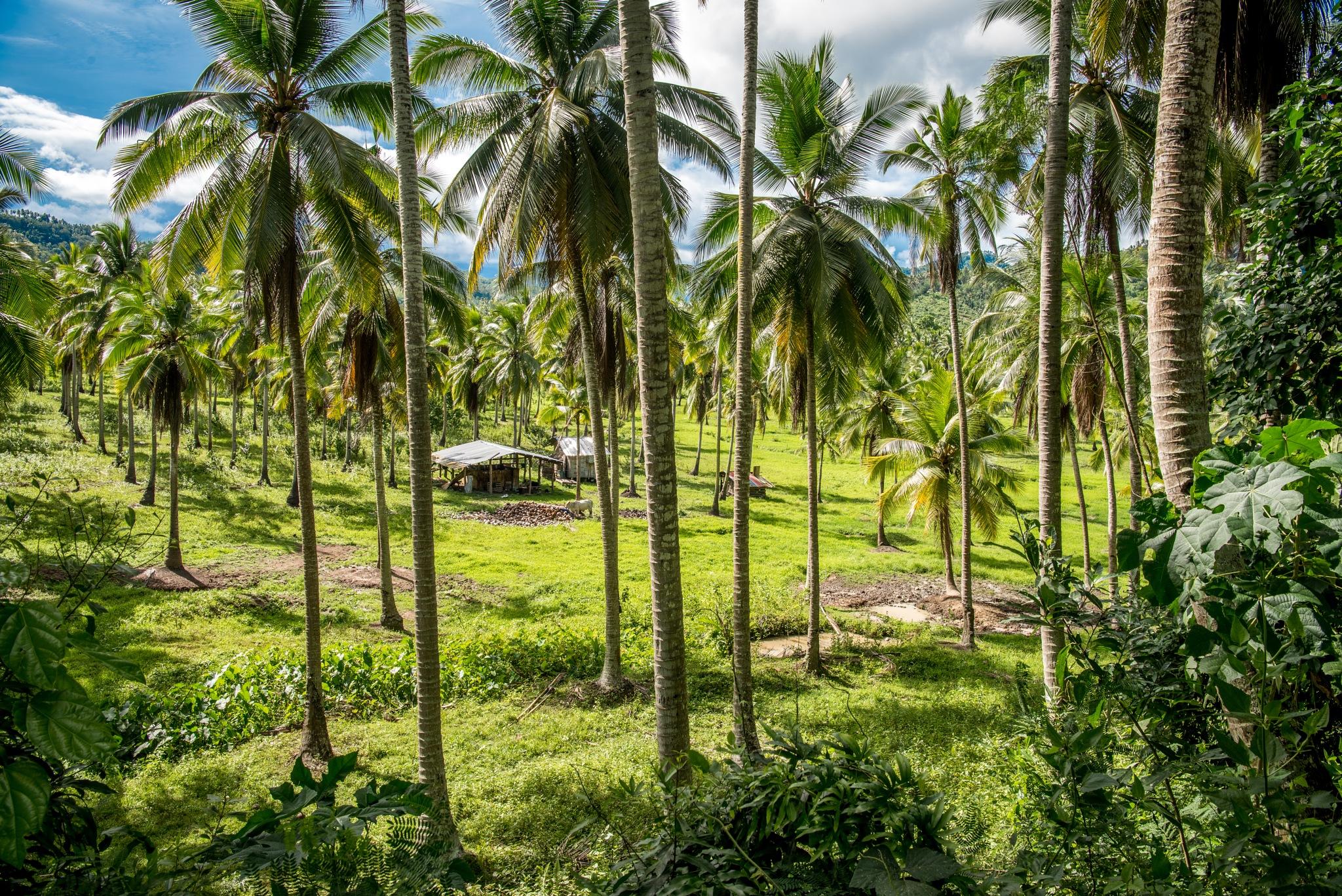 The small coconut farm by Ole Morten Eyra