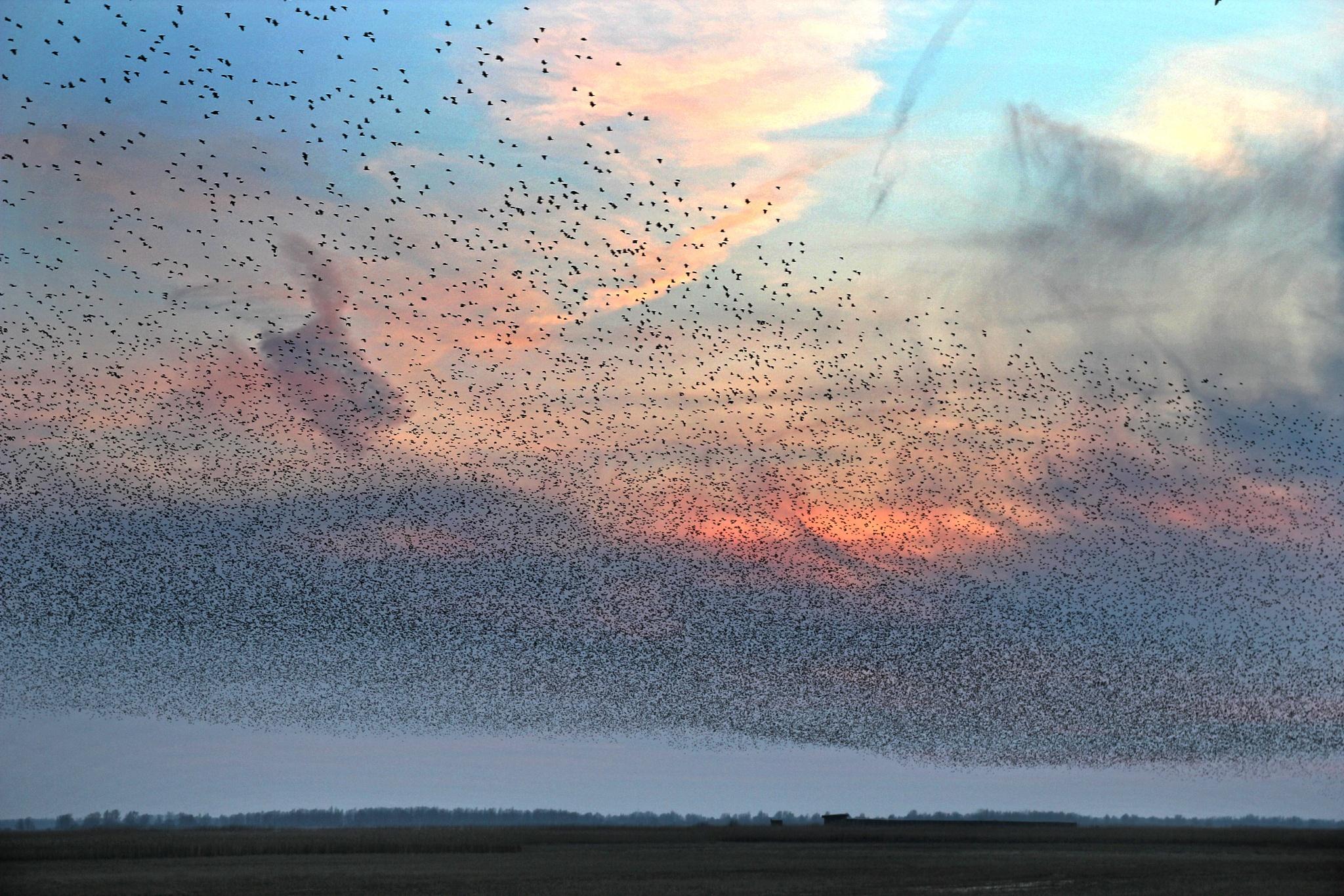 Birds Birds Birds Lauwersoog Holland by Jan Henk