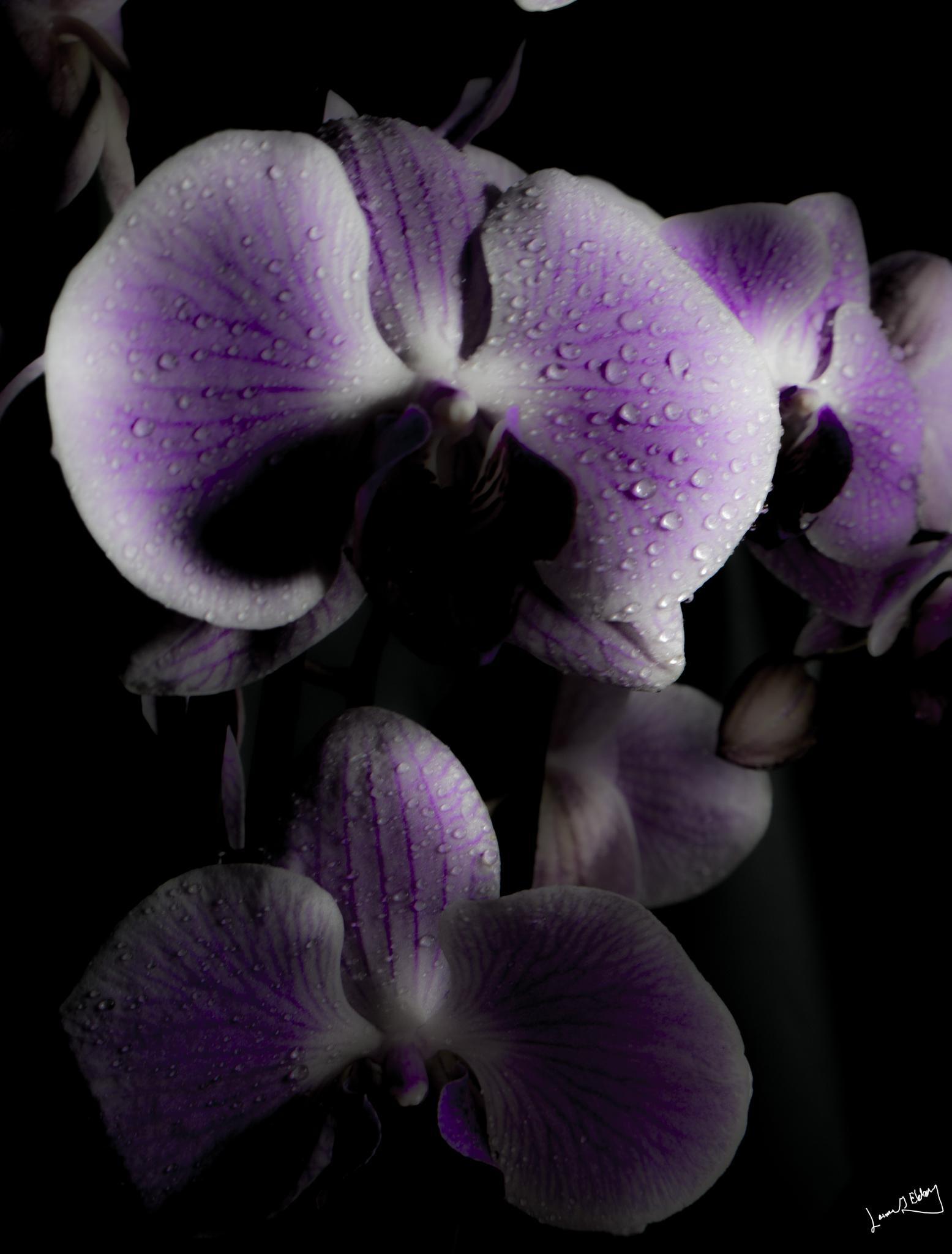 Orchid dew I by lennart.ekberg.90
